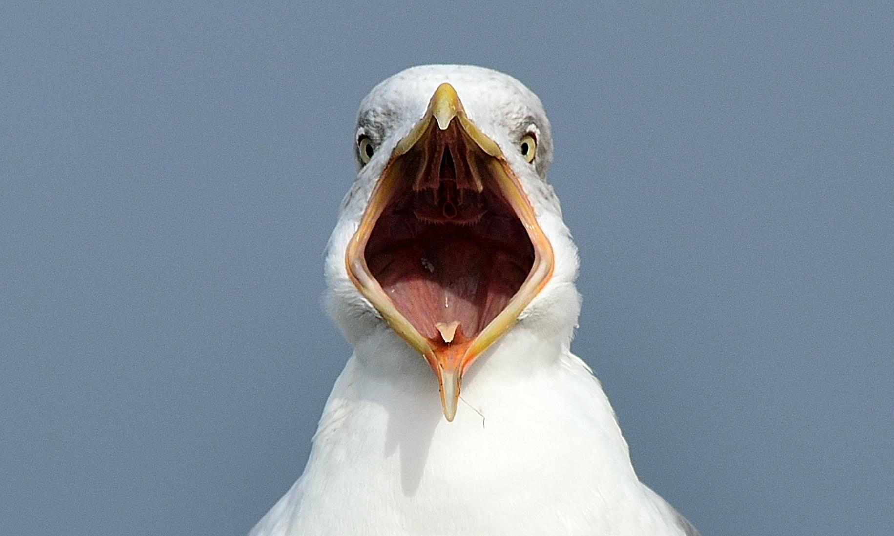 'It carried our dog away': are the UK's seagulls getting more aggressive?