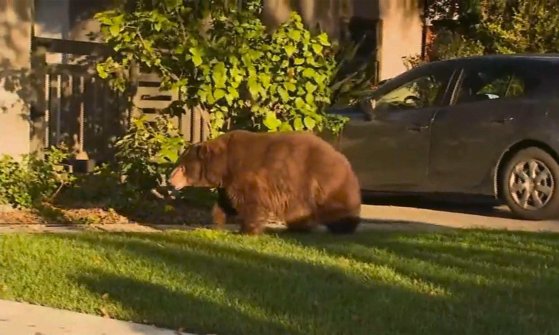 Ursus urbinus: 'elderly' 400lb bear spotted roaming Los Angeles suburb