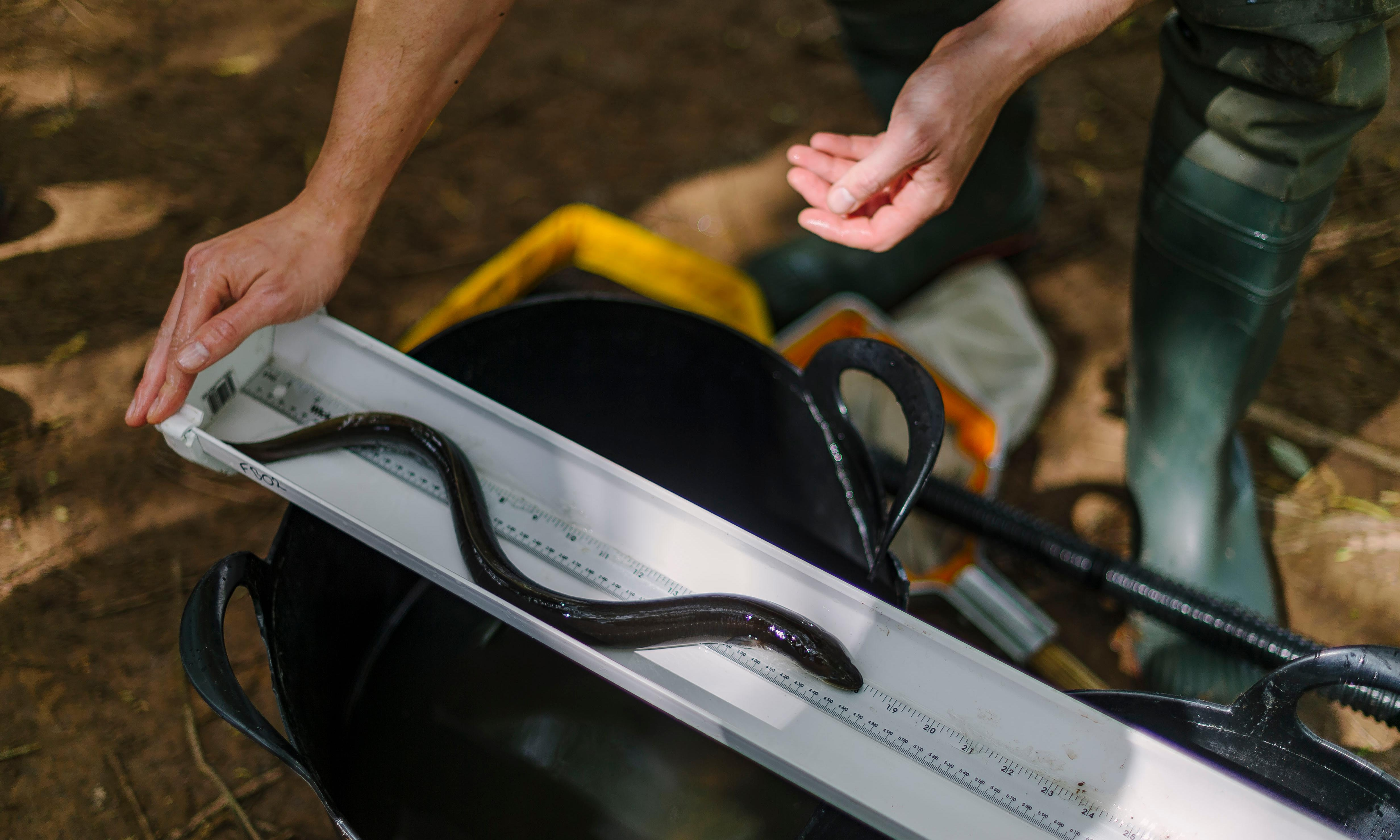 Slippery challenge: can the European eel be saved from oblivion?