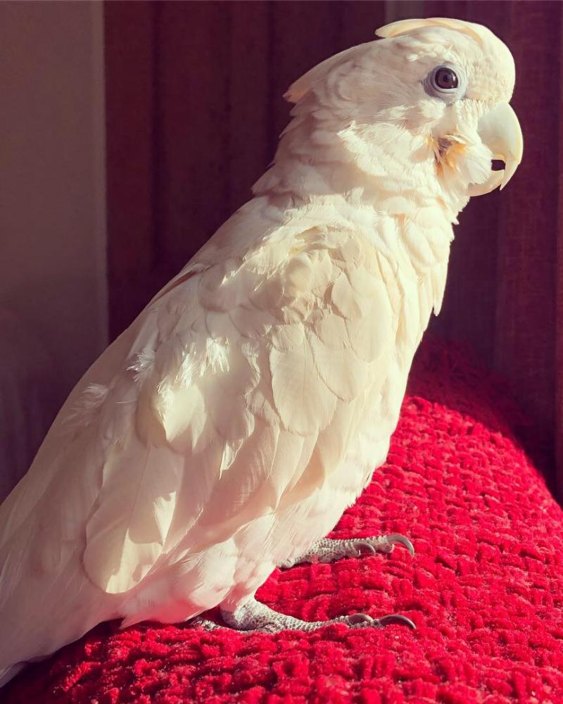Cockatoo Billy