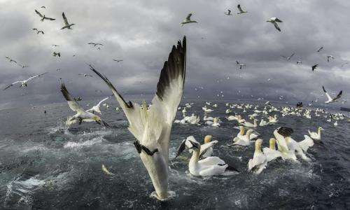 A gannet plunges into the sea on the Isle of Noss in Shetland, Scotland