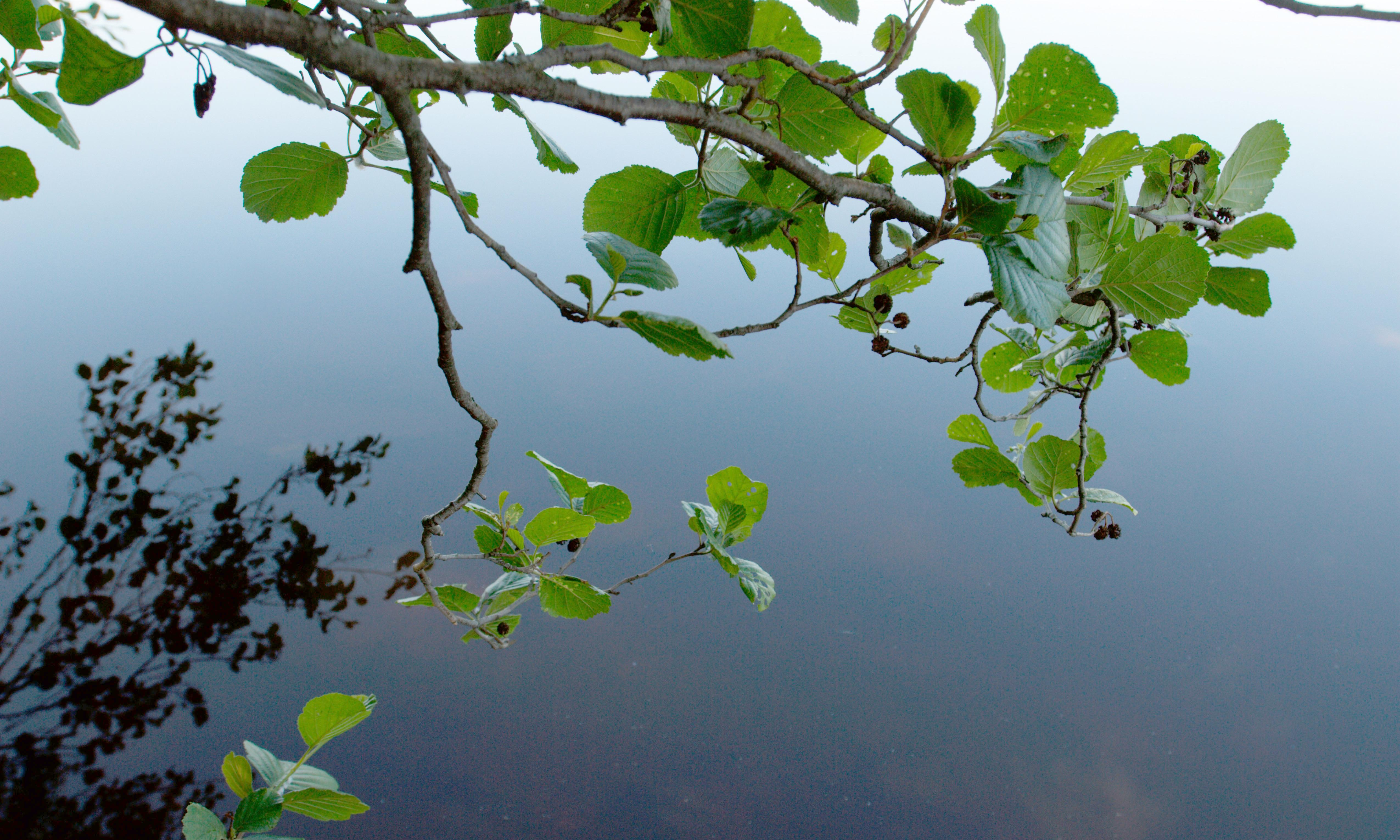 Species watch: how the bog-loving alder tree can fight against the tides