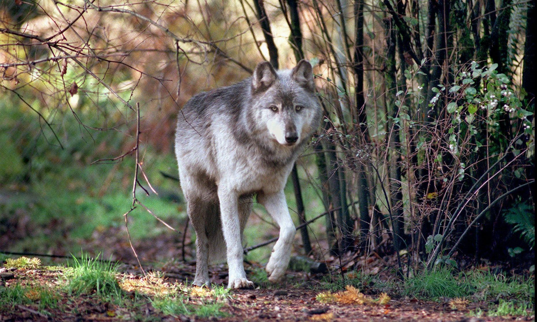 Washington: outcry after last four wolves in pack killed by state hunters