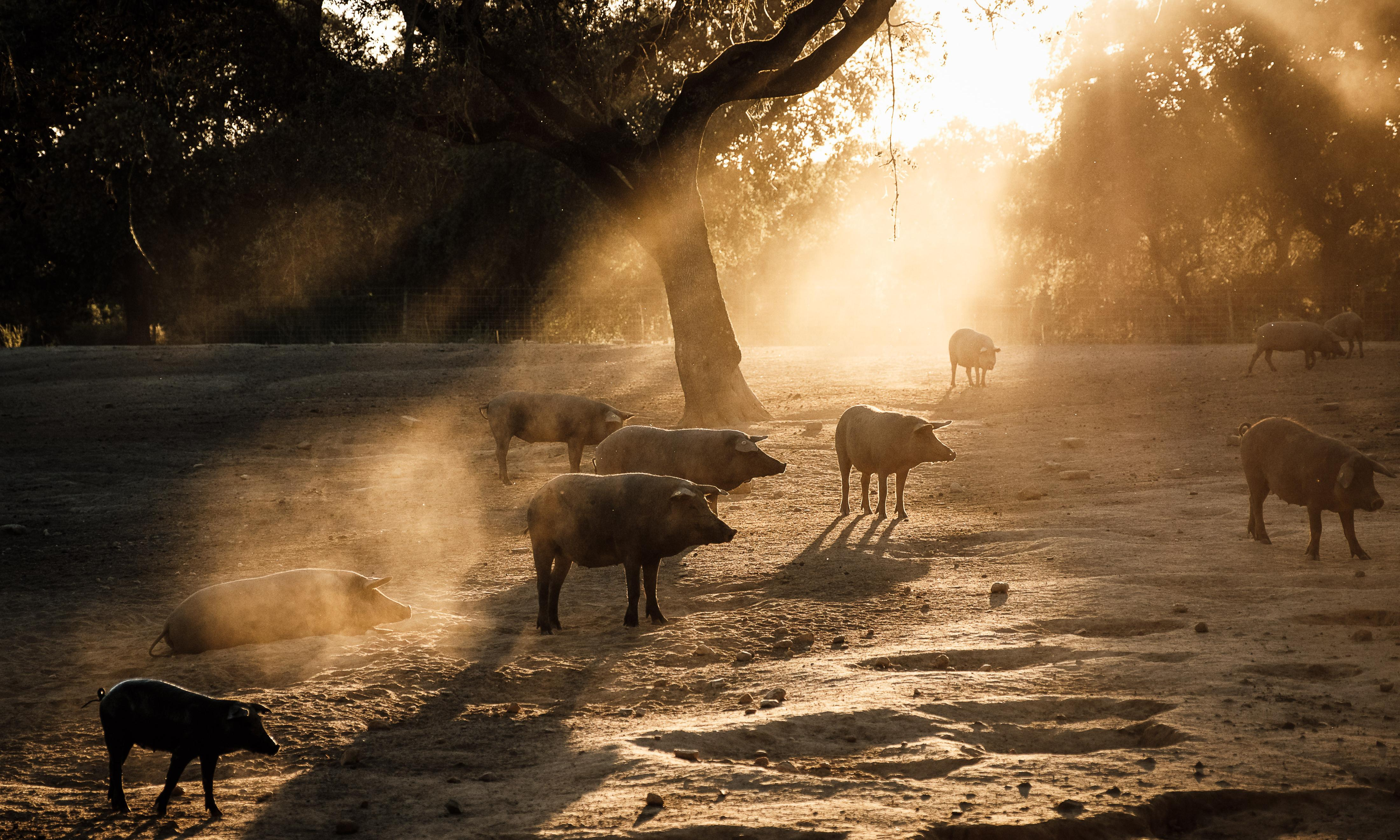 Putting pigs in the shade: the radical farming system banking on trees