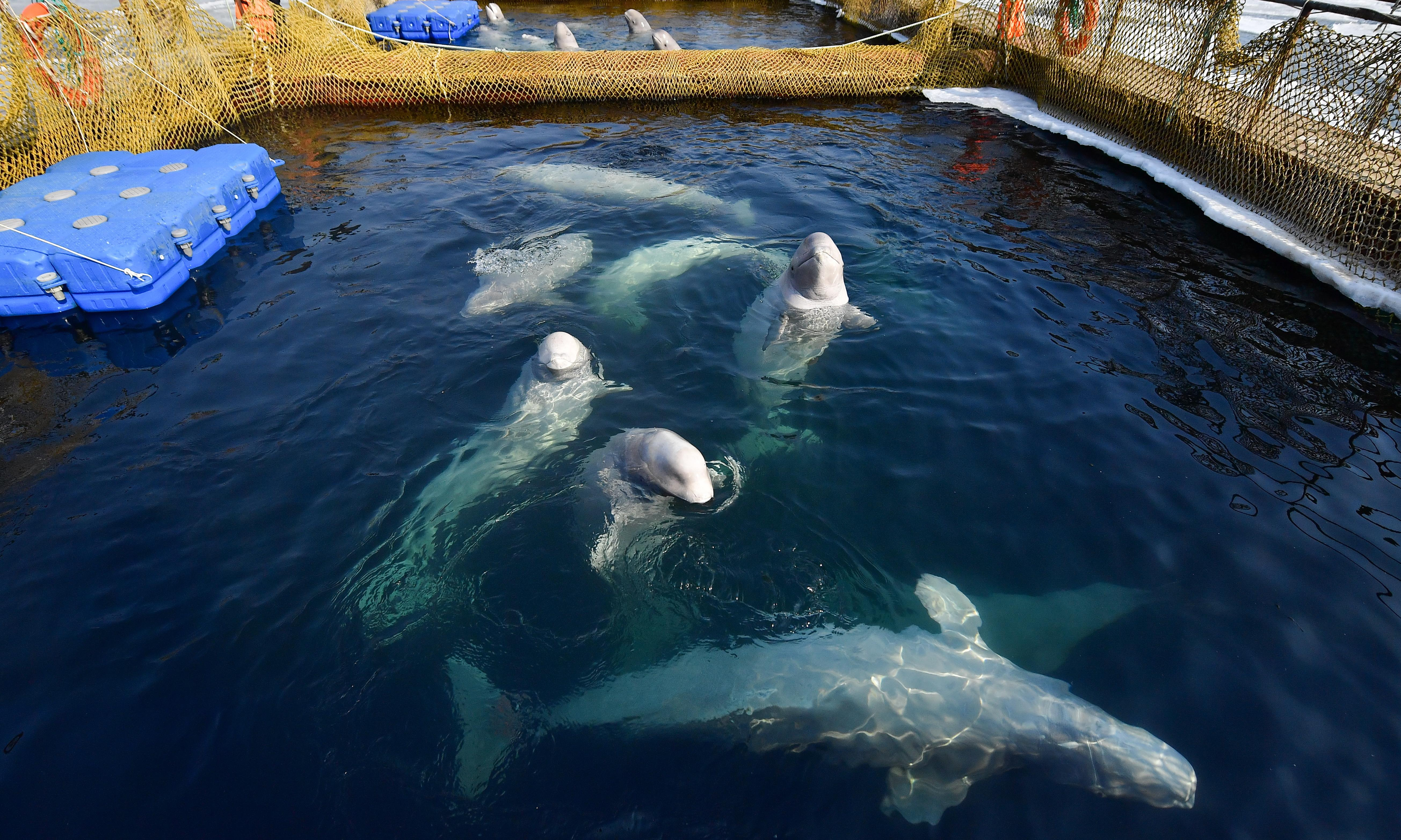 Russia moves to free nearly 100 captive whales after outcry