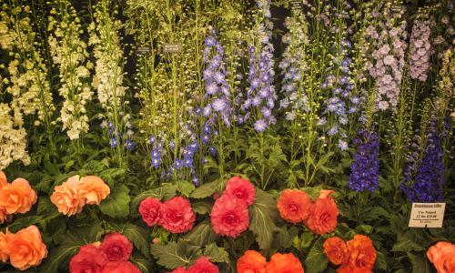 Delphiniums at the RHS Chelsea Flower Show.