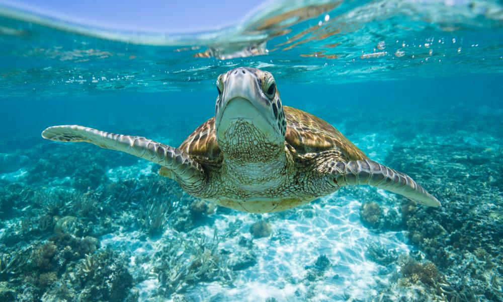 A turtle swims in the ocean off Lady Eliot Island.