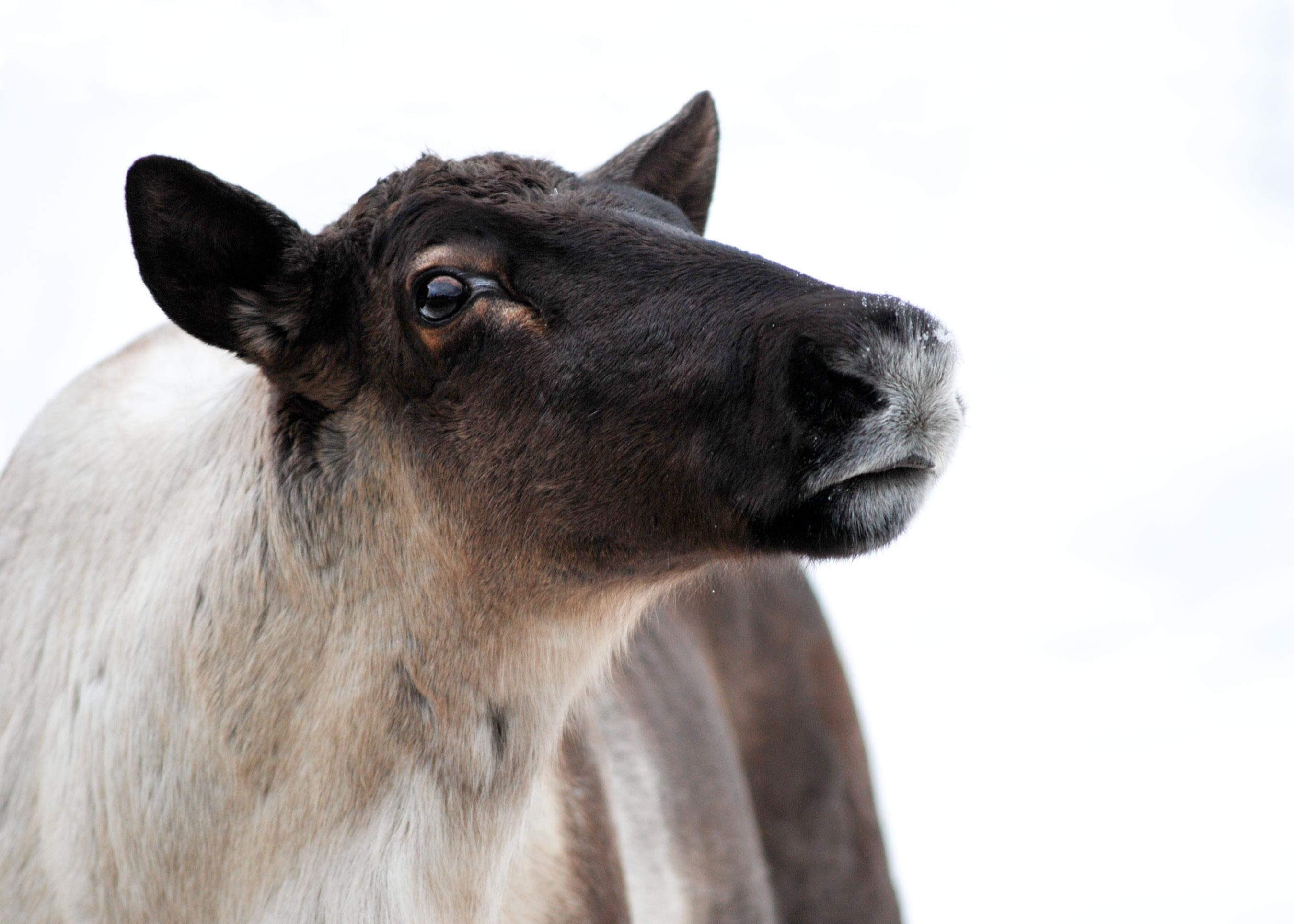 A small town's economy. Endangered caribou. Which do we protect?