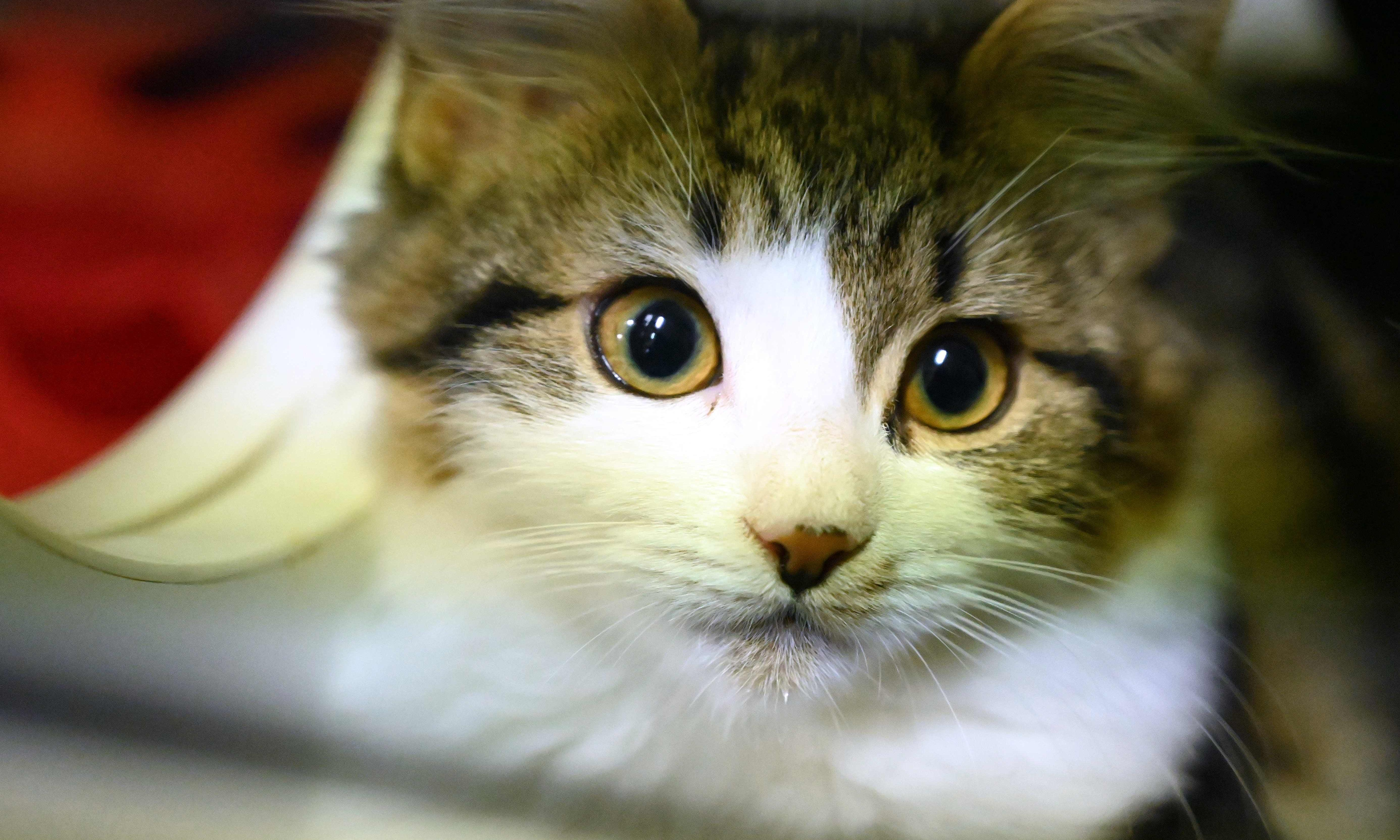 Cats can infect each other with coronavirus, Chinese study finds