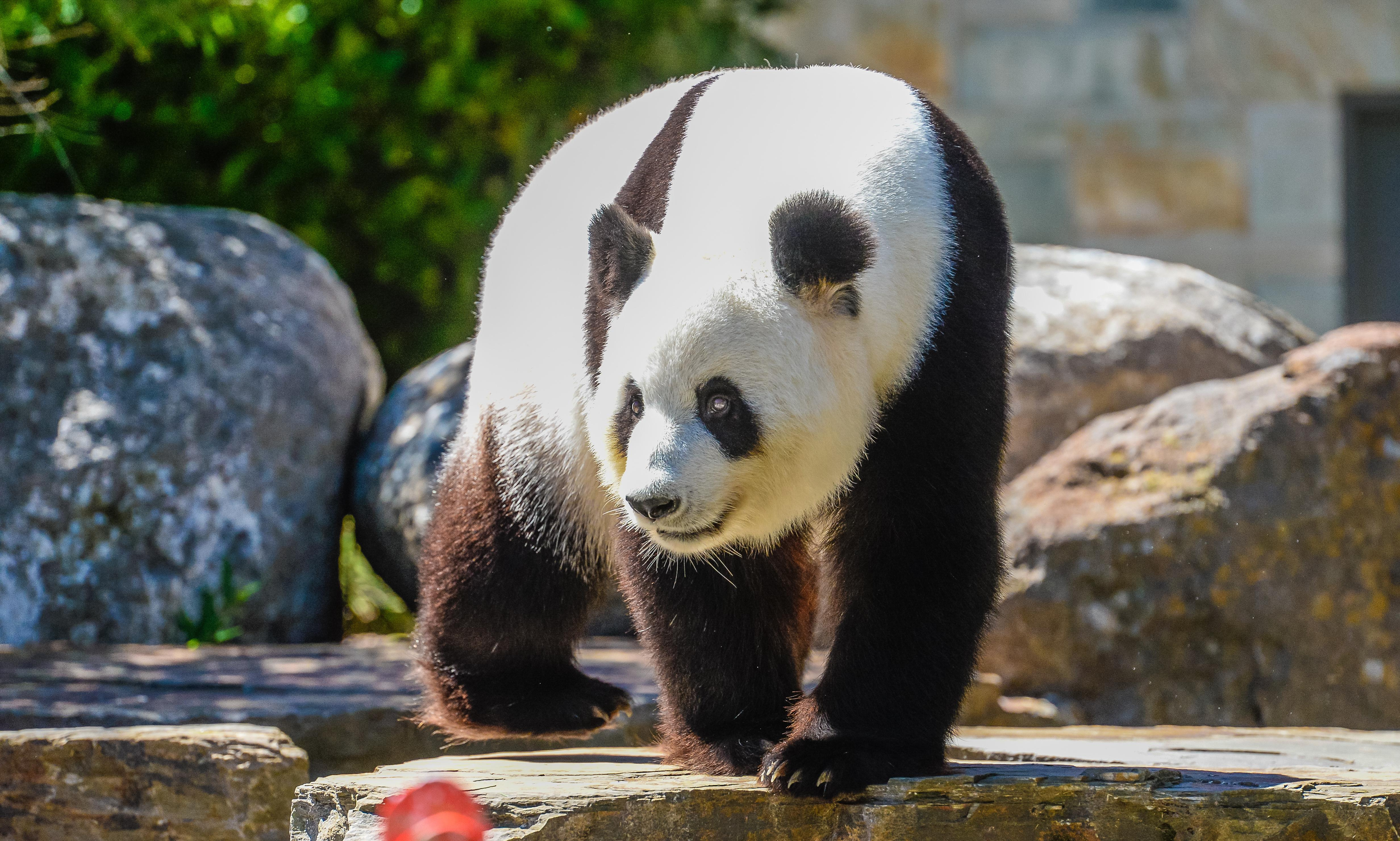 Pandas Wang Wang and Fu Ni to stay in Adelaide zoo under Labor plan