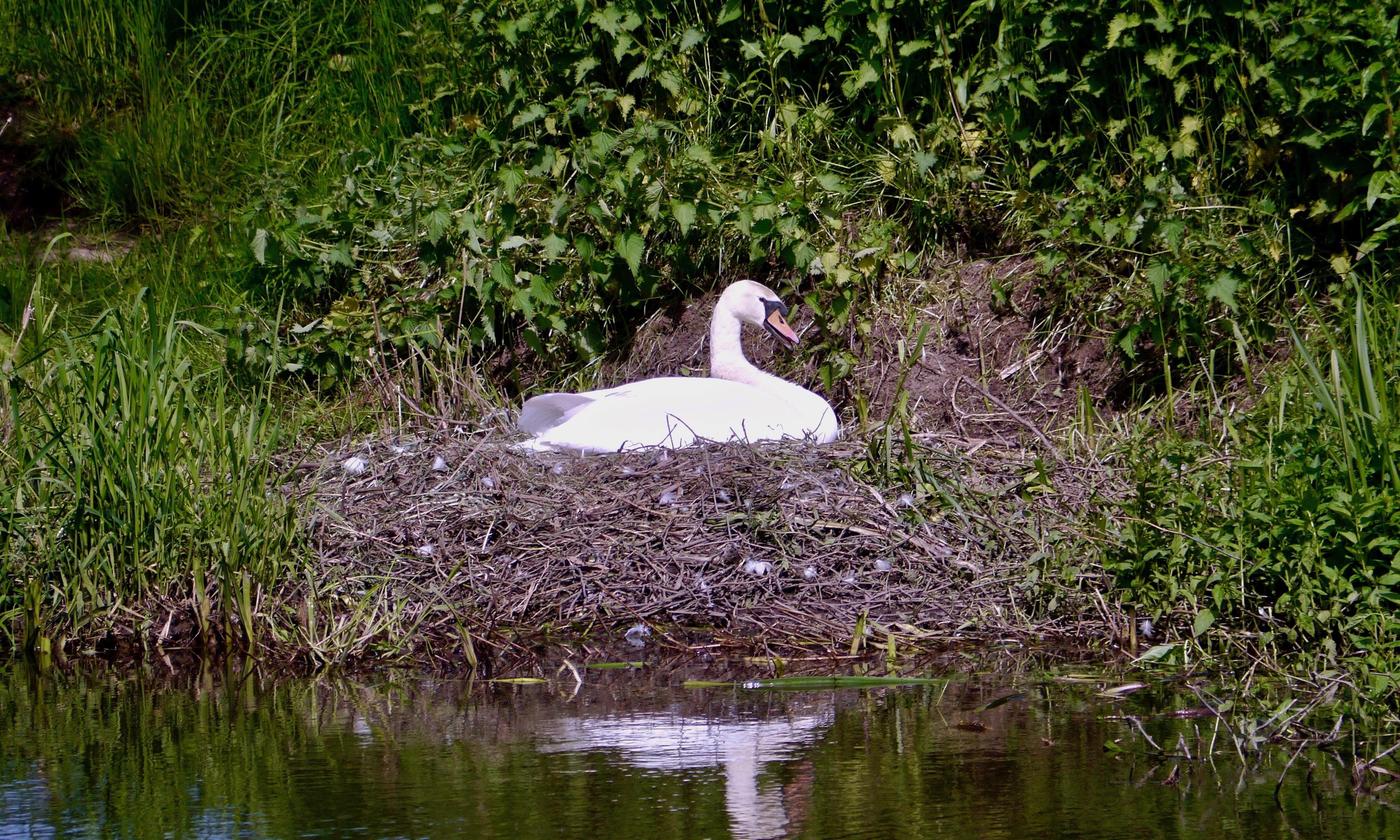 Country diary: a swan builds a fortress for a nest
