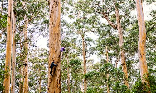 Karri forest near Pemberton in south-west Western Australia.