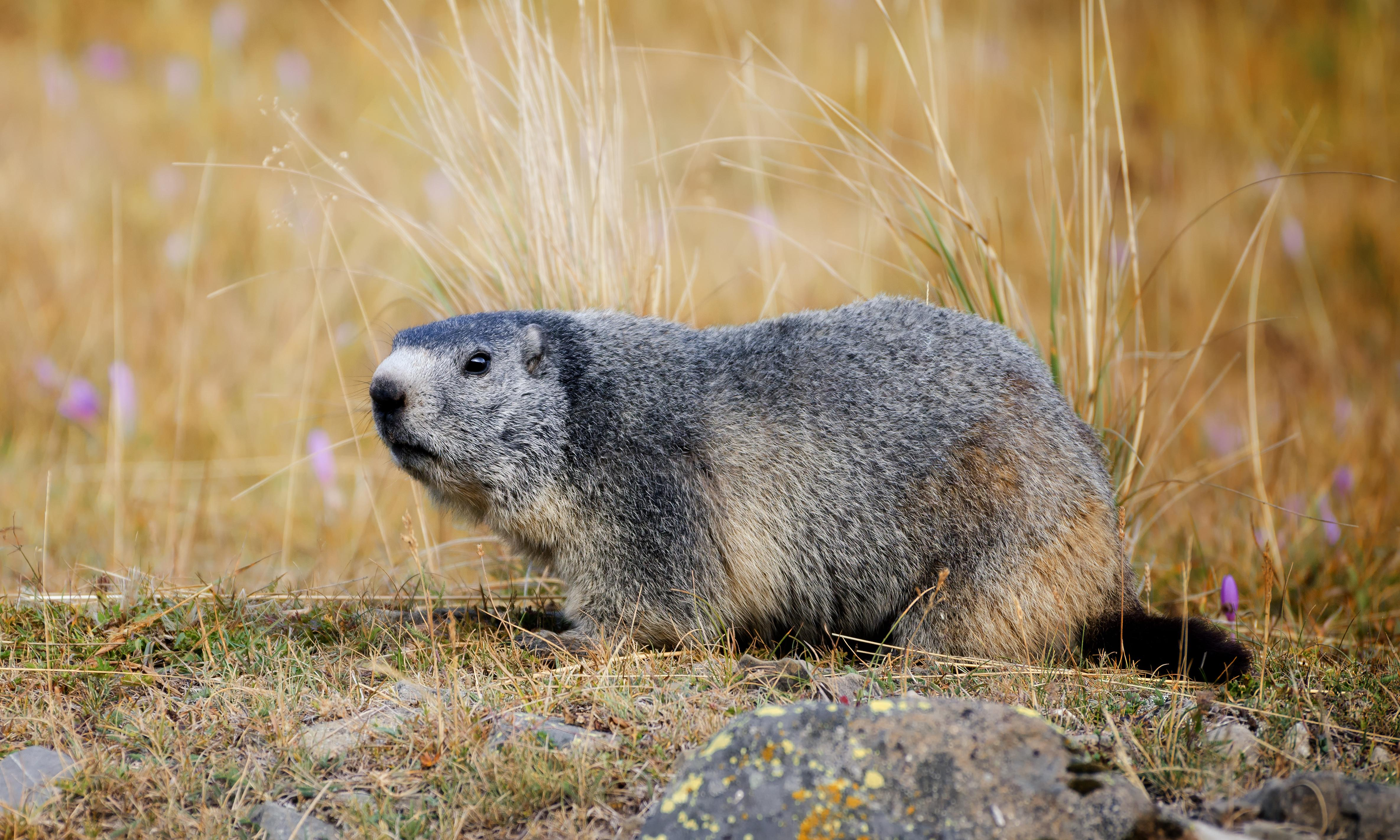 Mongolian couple die of bubonic plague after eating marmot