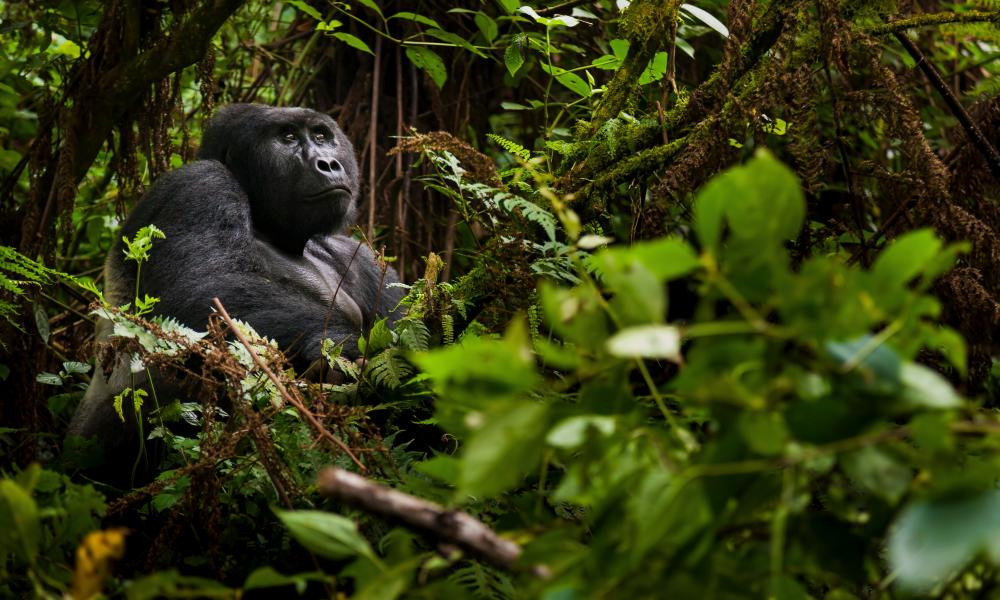 A trek into Volcanoes national park, Rwanda, brings an hour in the company of mountain gorillas.