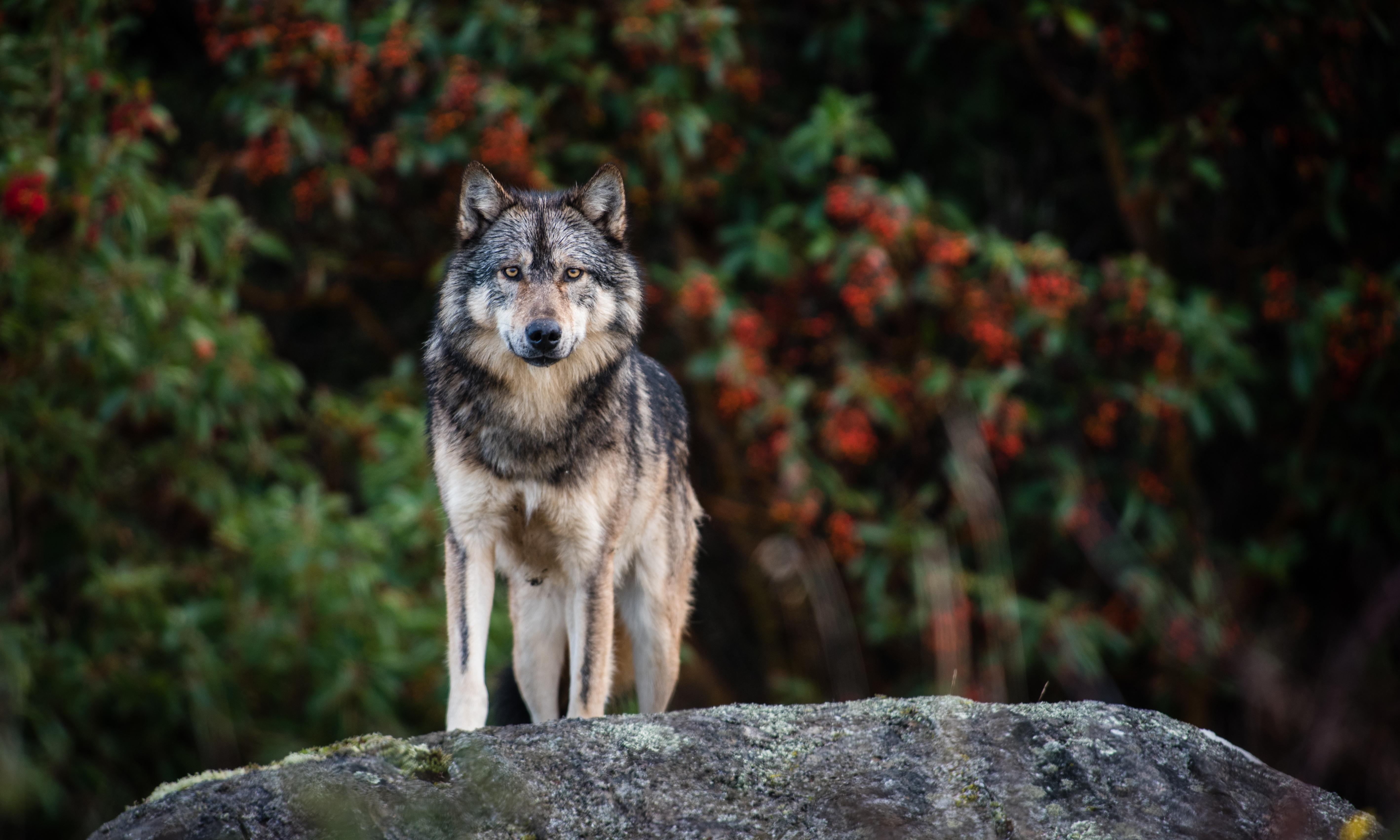 Canada mourns Takaya – the lone sea wolf whose spirit captured the world
