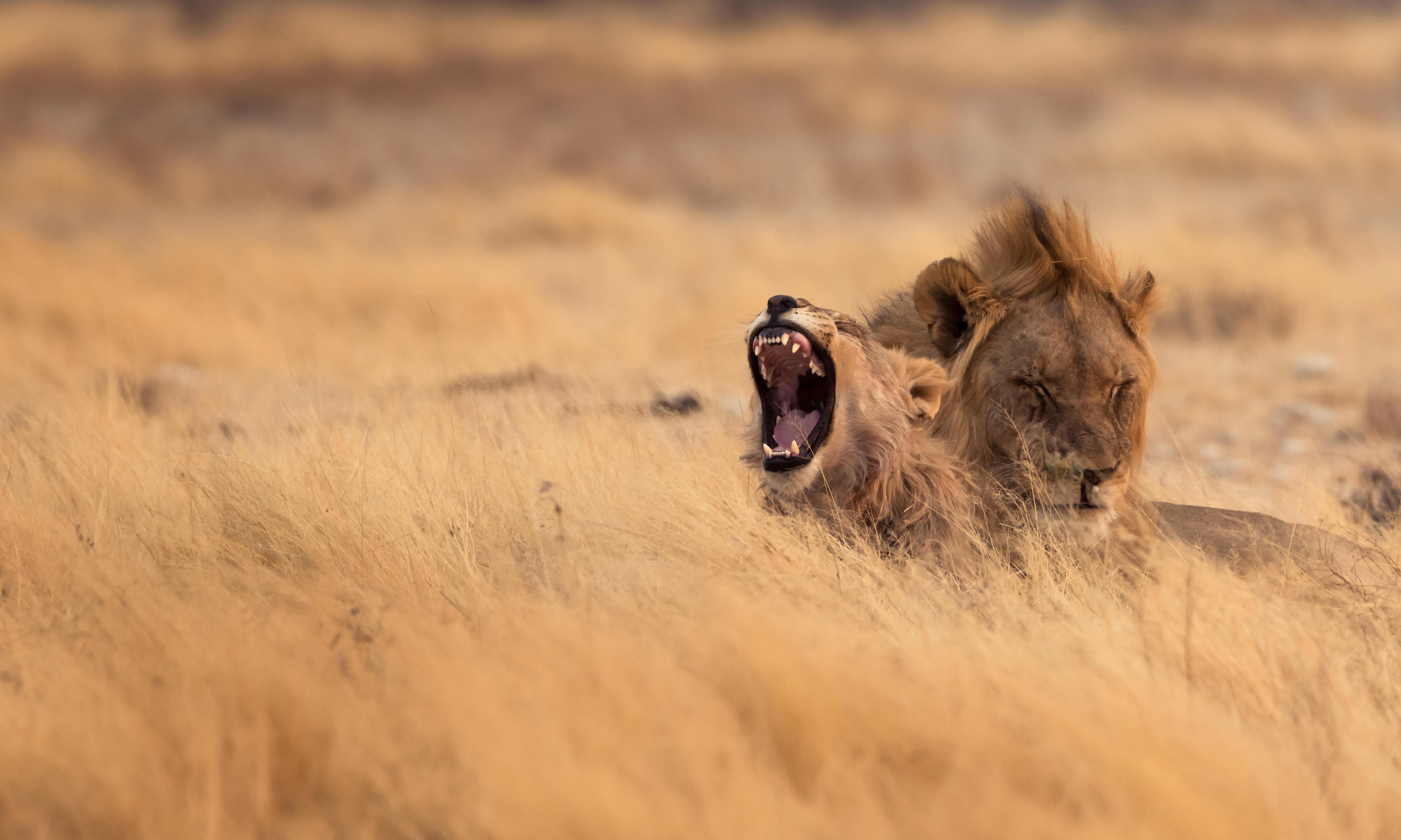 South Africa: wild animals at risk of 'genetic pollution'