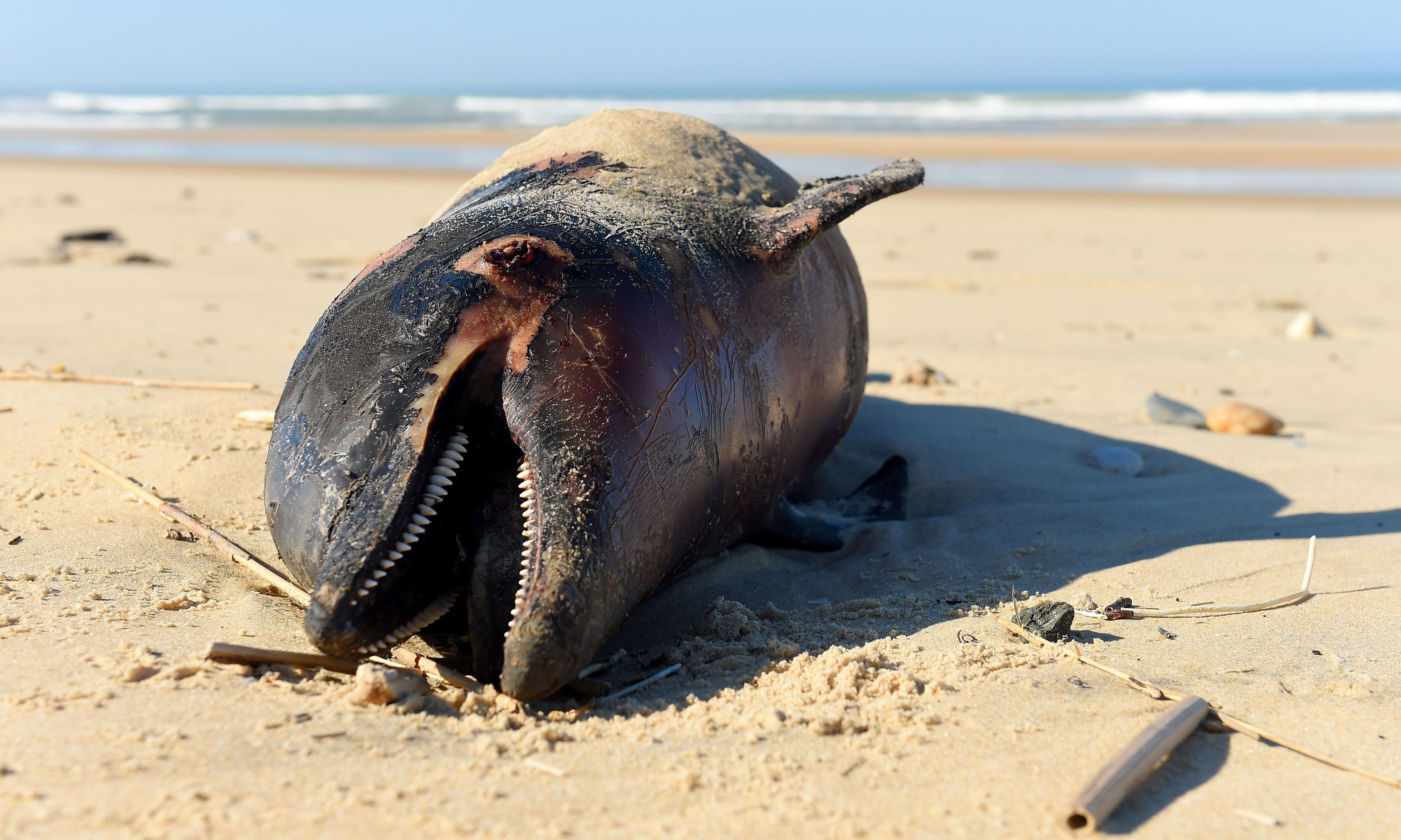 Mutilated dolphins wash up on French coast in record numbers