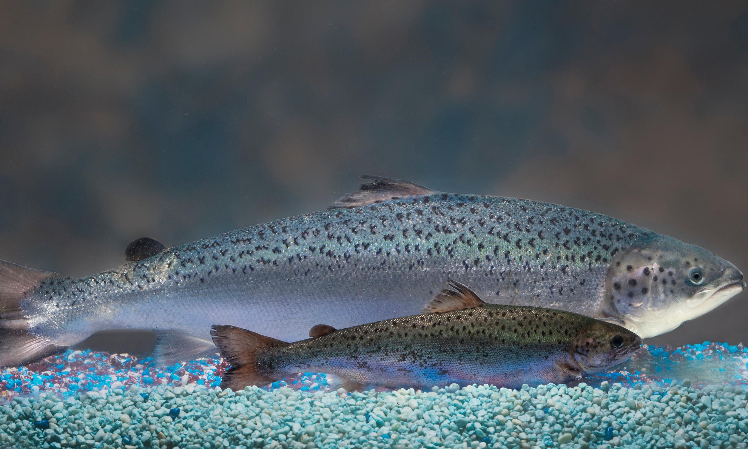 GM salmon hits shelves in Canada – but people may not know they're buying it