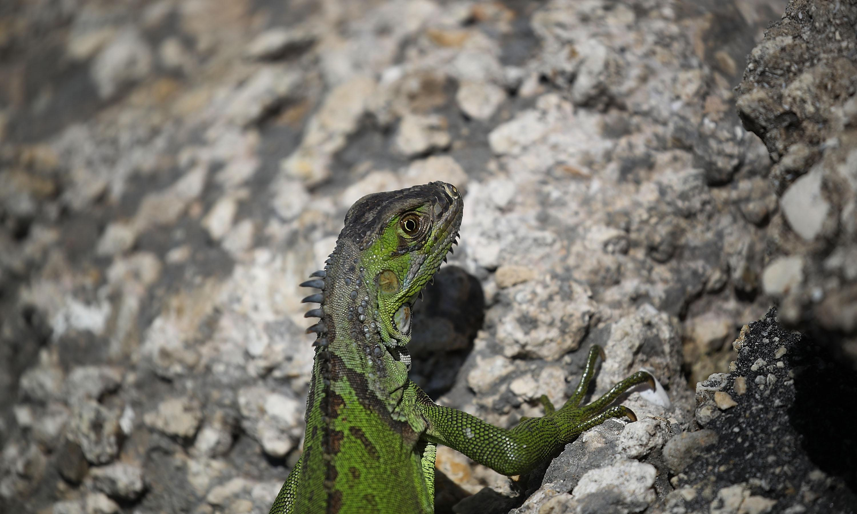 Frozen iguanas forecast to shower south Florida as temperatures drop