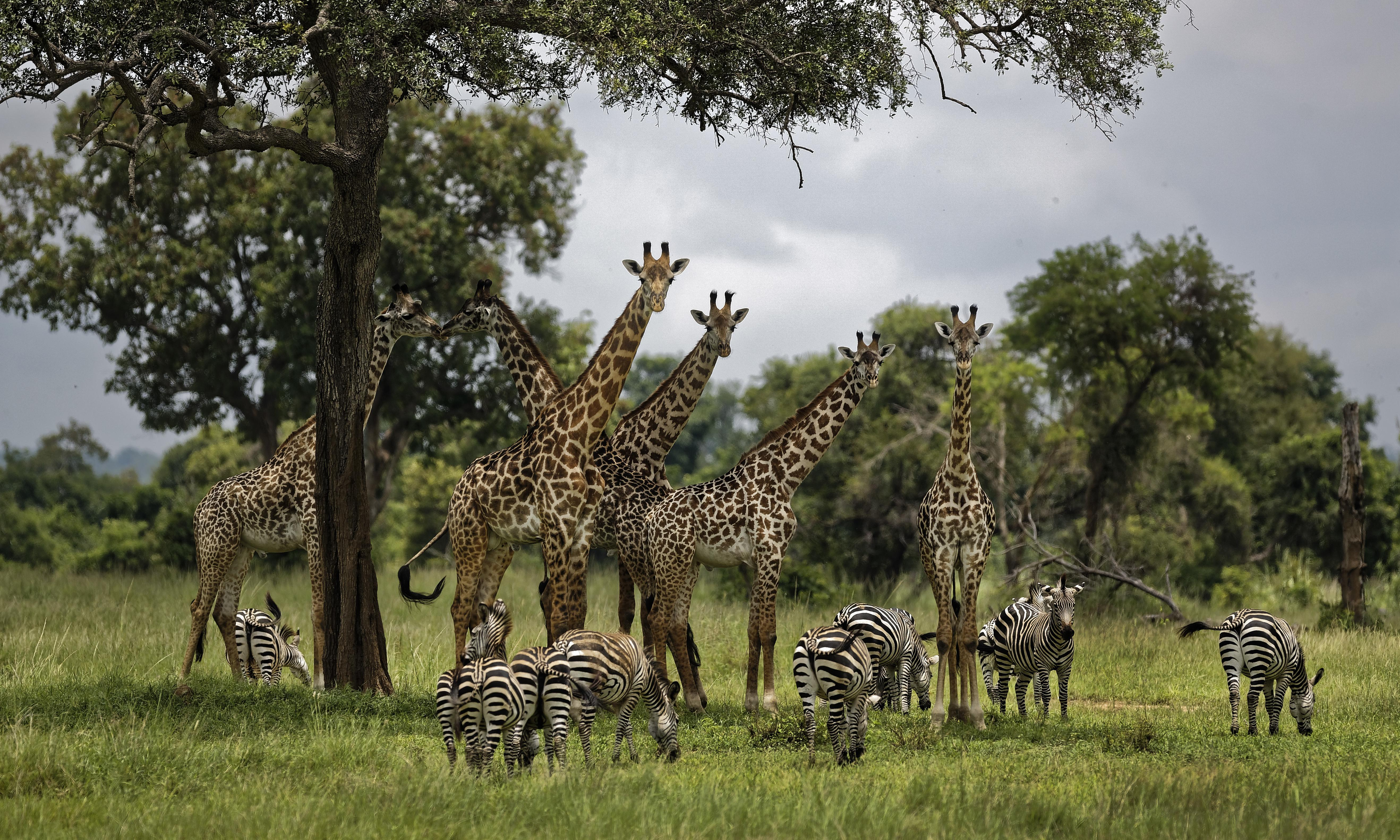 'Silent extinction': Cites wildlife summit agrees to giraffe protections