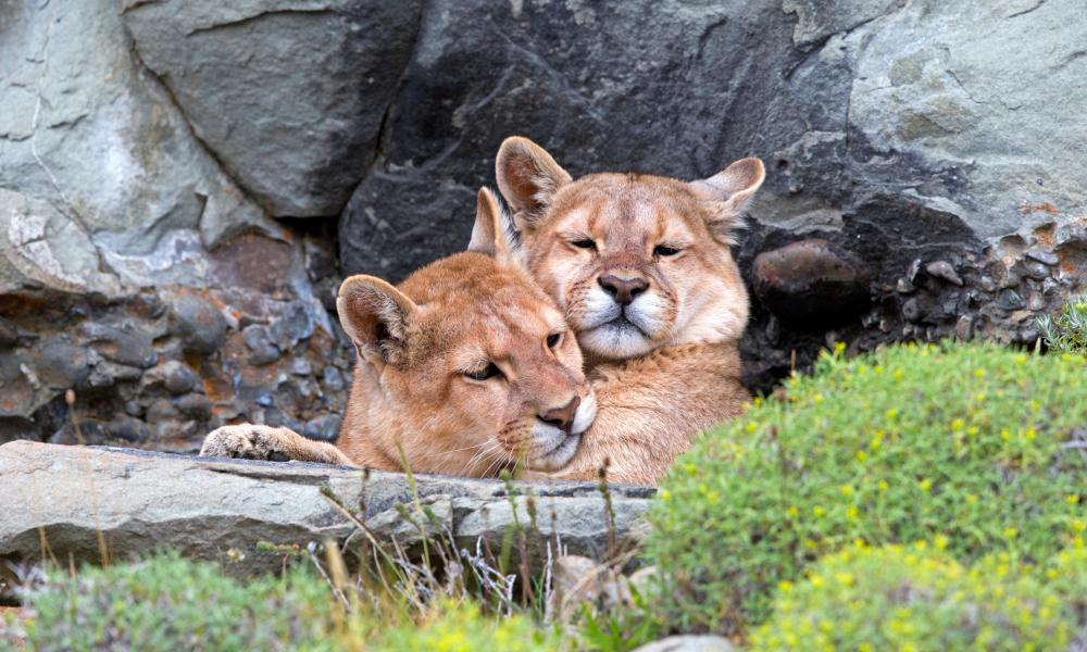 Animal magic: pumas in the Torres del Paine National Park.