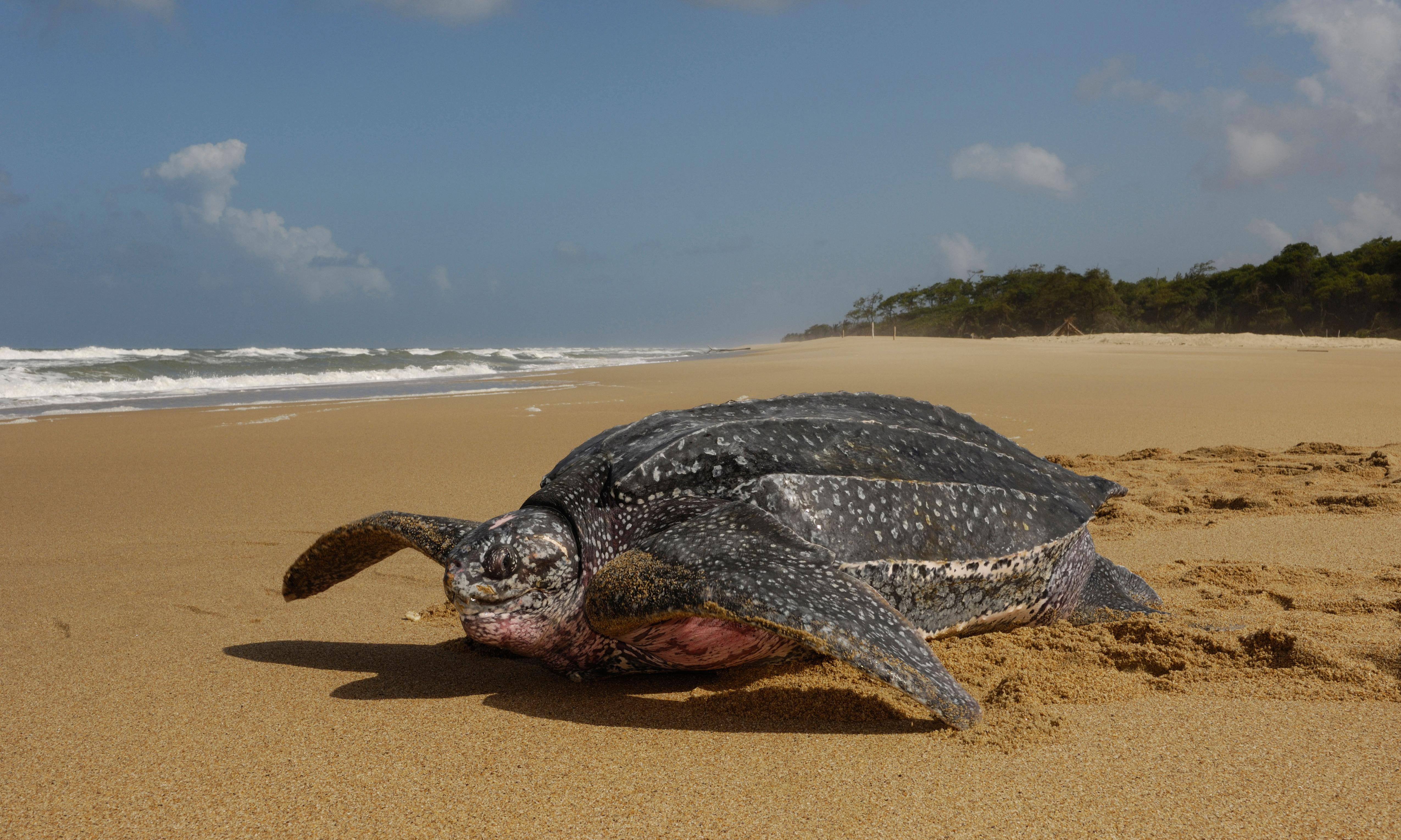 Warming oceans force leatherback turtles on longer journeys to feed