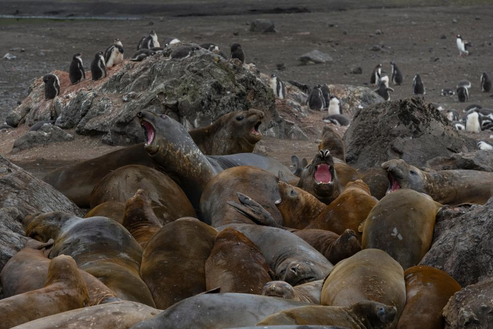 Elephant seals near a gentoo penguin colony on Livingston Island, South Shetlands.