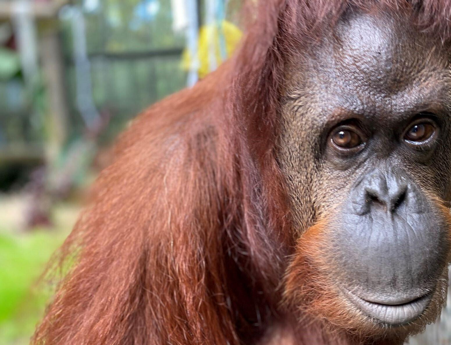 Orangutan Sandra granted personhood settles into new Florida home