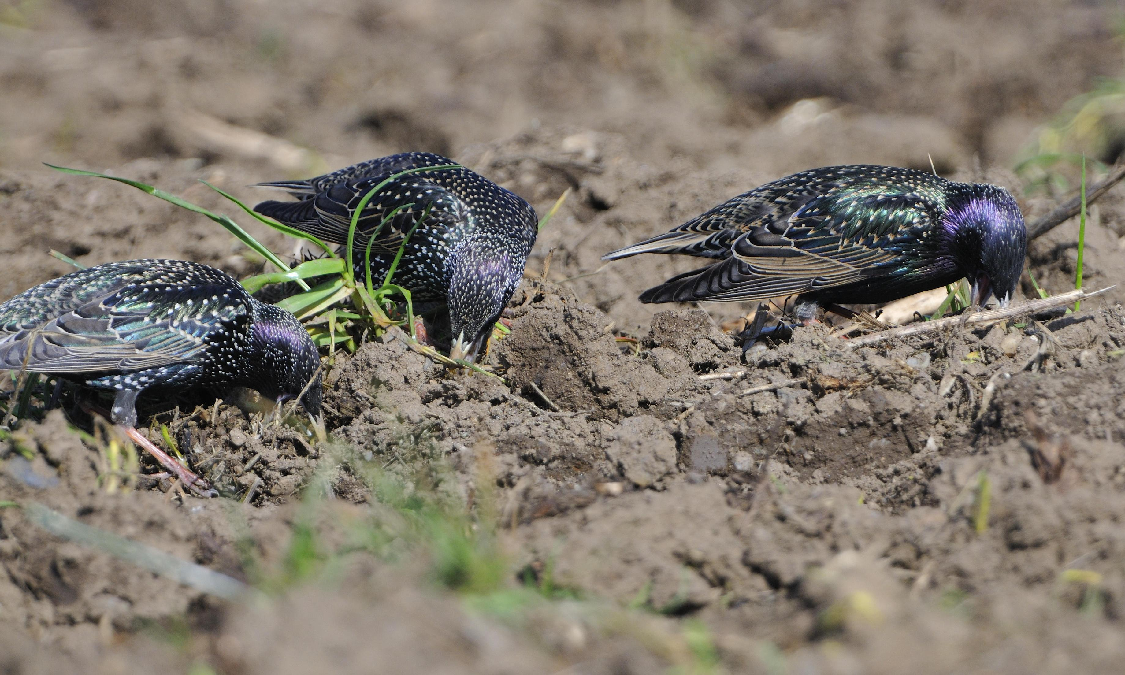 Starlings follow the plough: Country diary, 26 May 1919