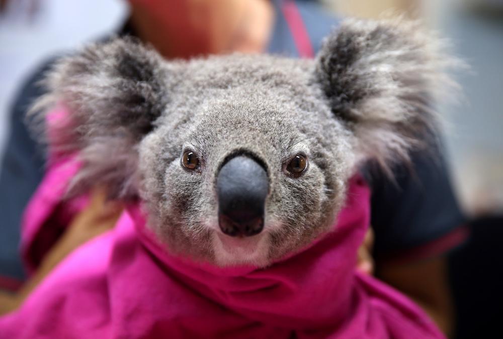 A koala named Lisa from Pappinbarra recovers from burns at the Port Macquarie Koala Hospital.