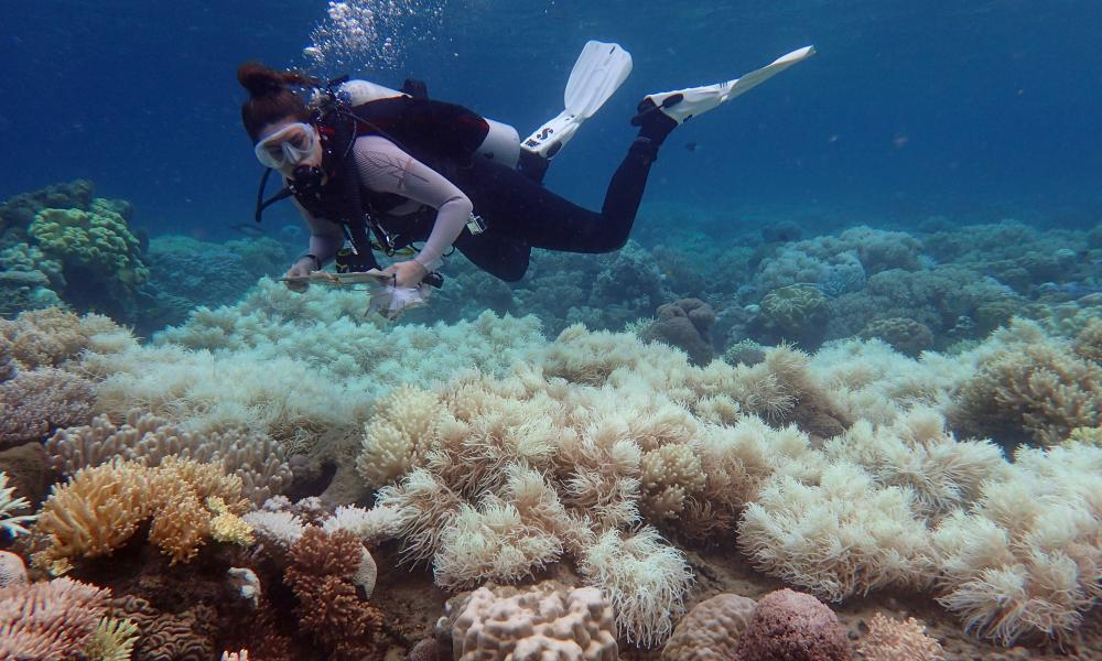 A diver over bleached coral at Orpheus Island