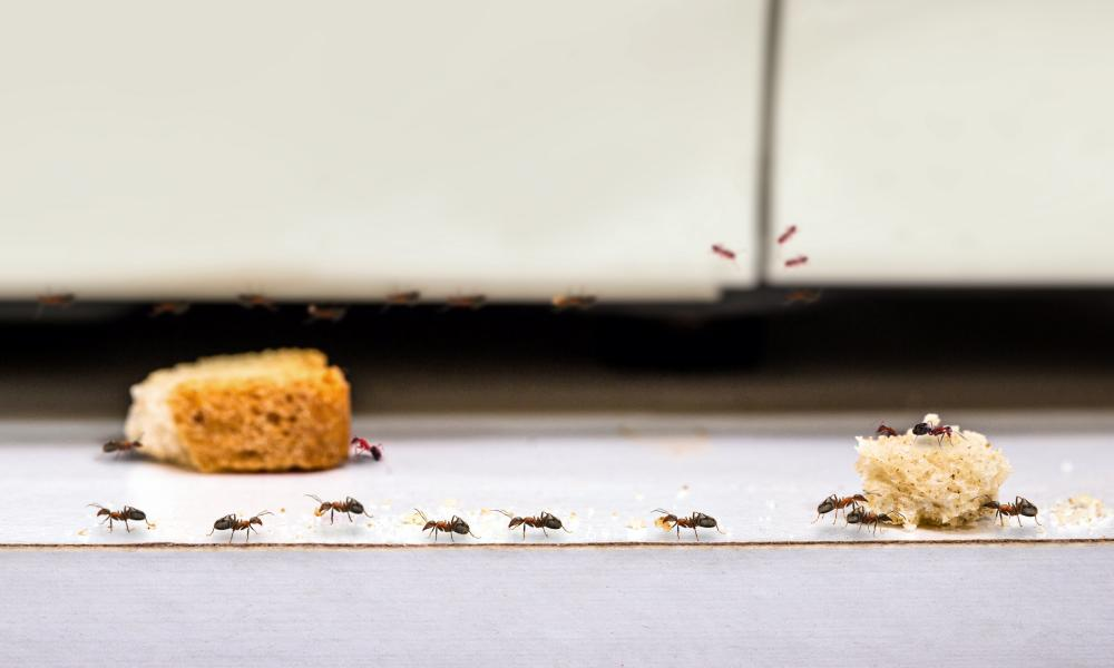 Ants form an orderly queue to get to two large crumbs on a kitchen worktop