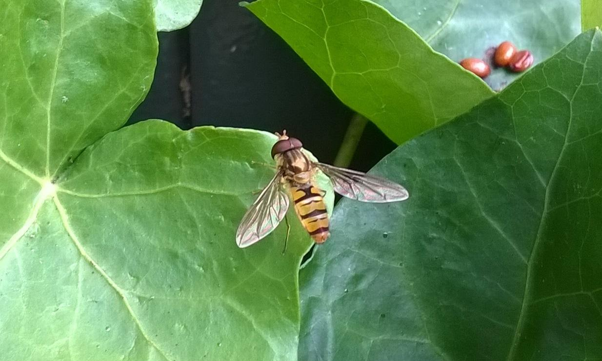 Country diary: marmalade hoverflies are a sweet sight to behold