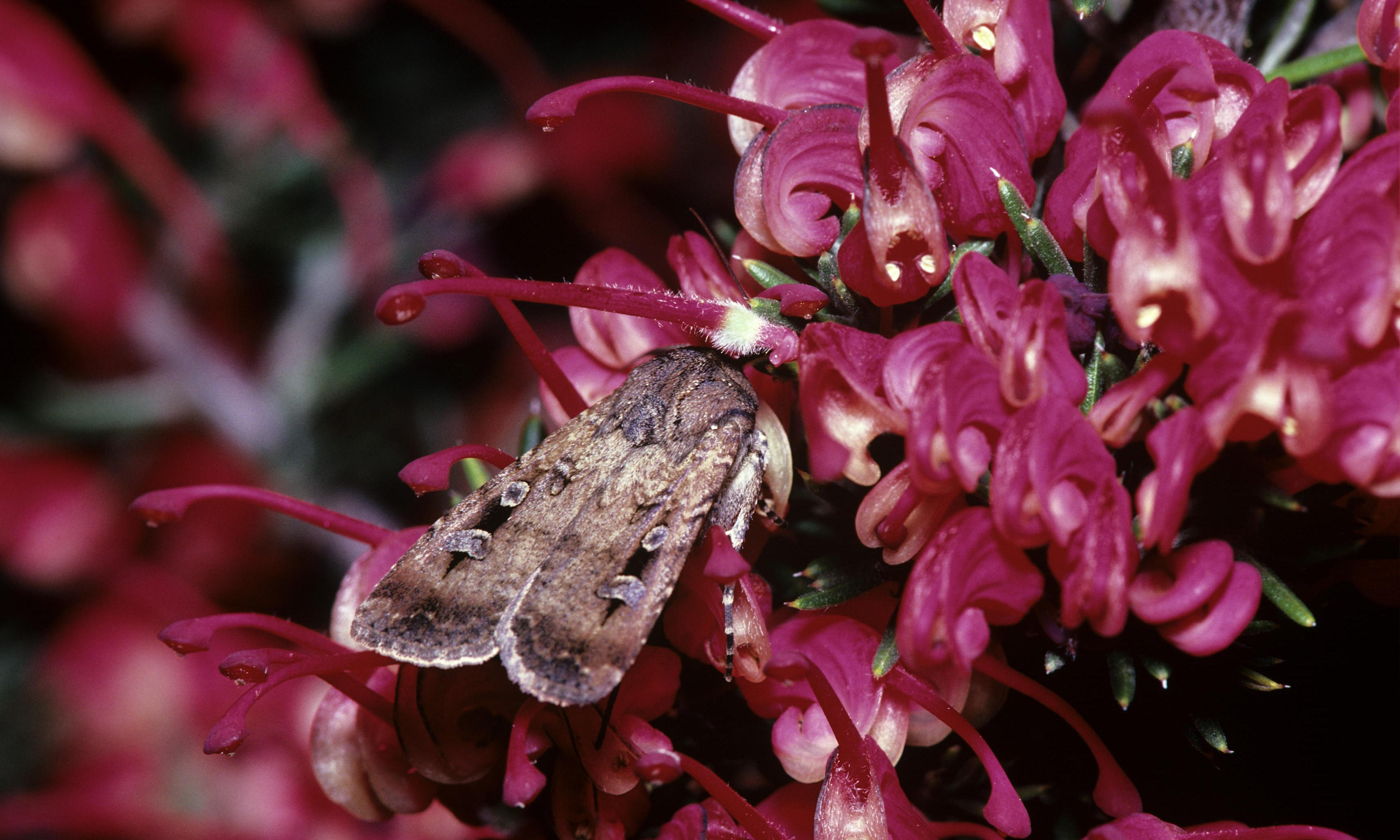 Bogong moth tracker launched in face of 'unprecedented' collapse in numbers