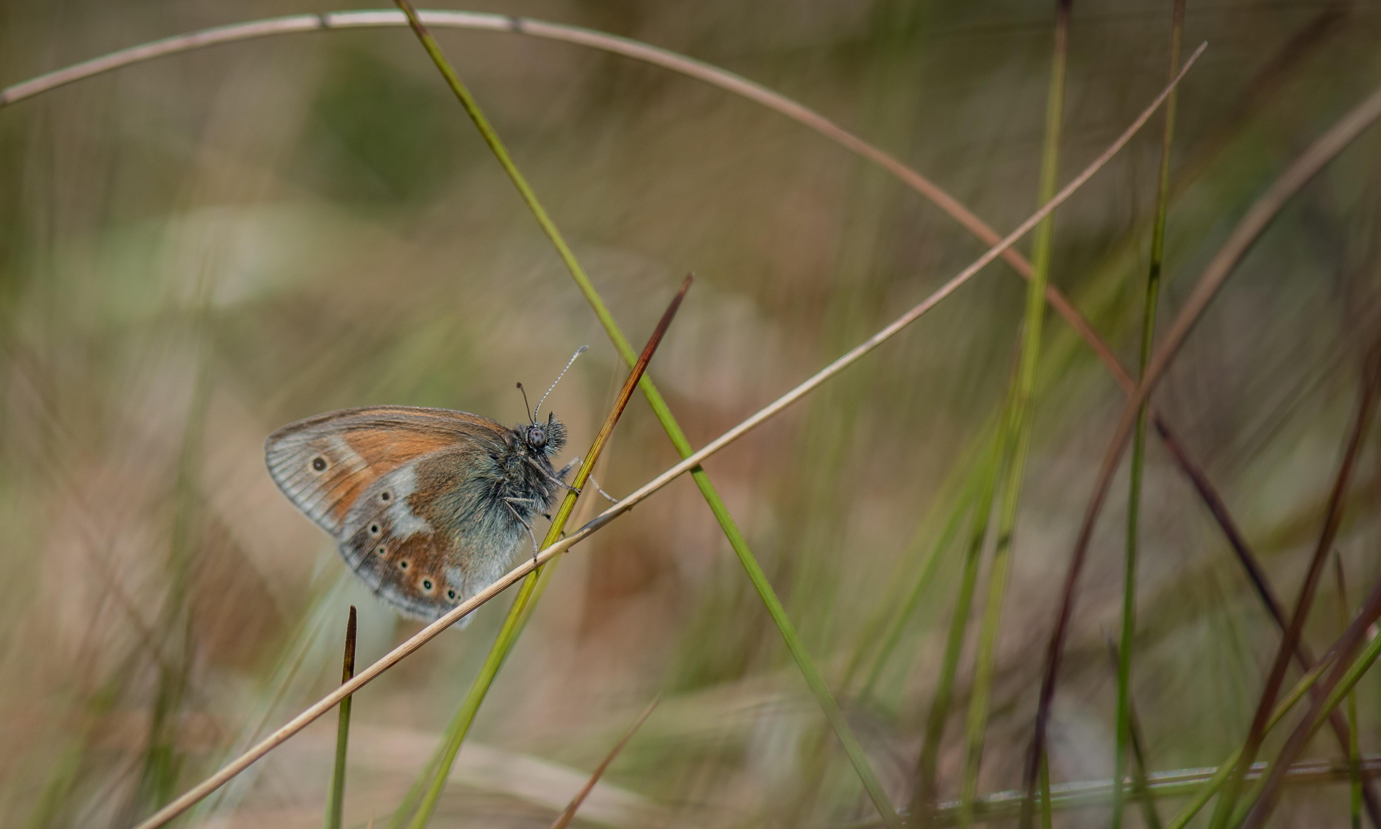 Large heath butterflies return to Manchester after 150 years