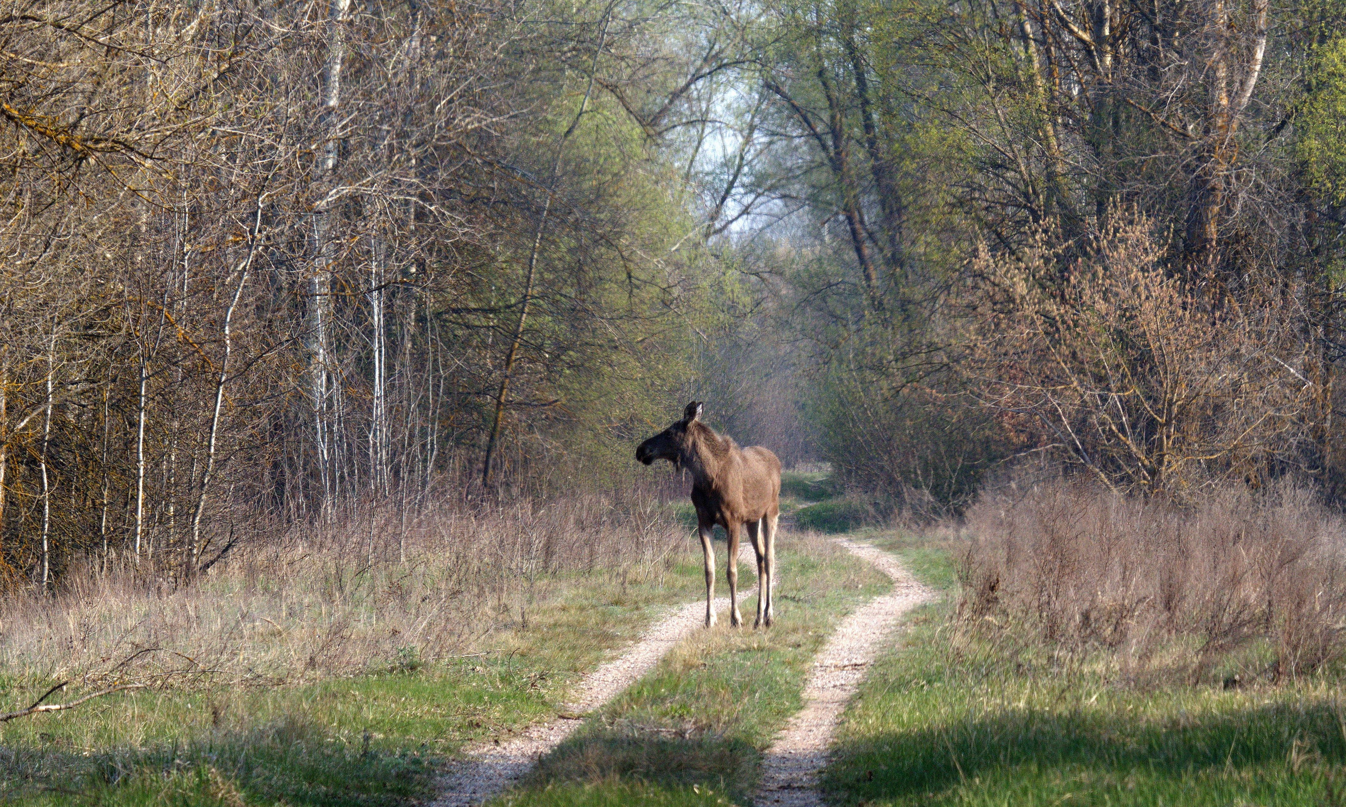 Chernobyl: the wildlife haven created when people left
