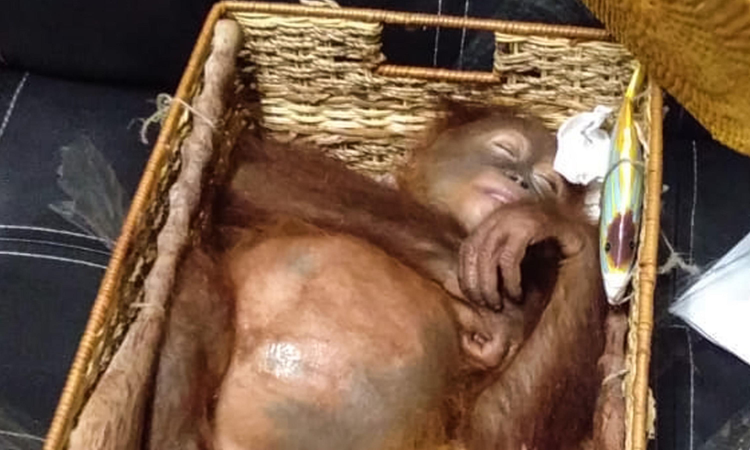 Drugged orangutan found in Russian's airline luggage