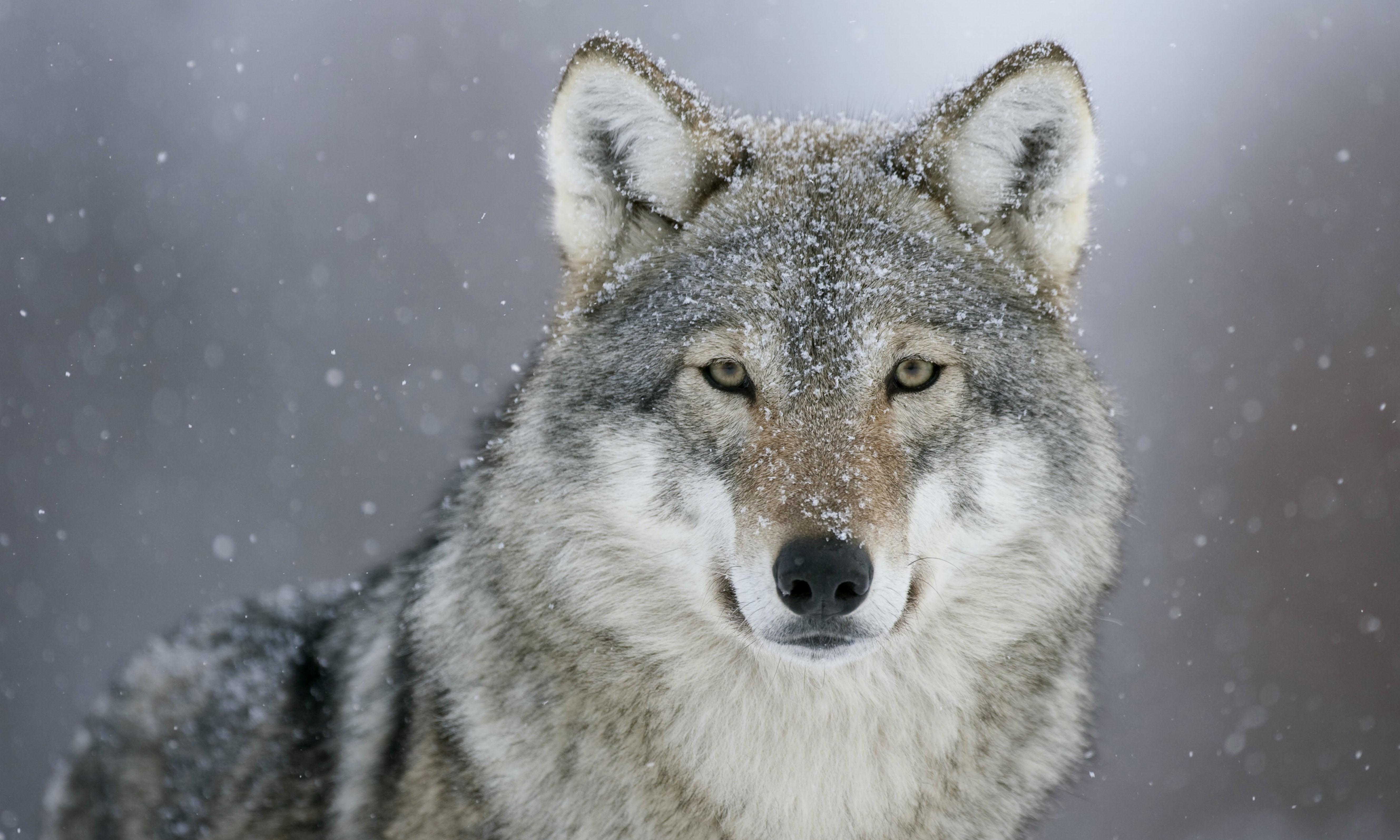 Belgium's first sighted wolf in a century feared killed by hunters