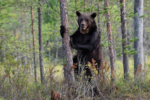 A brown bear in Finland's Arctic taiga, or boreal forest, rears up on its hind legs