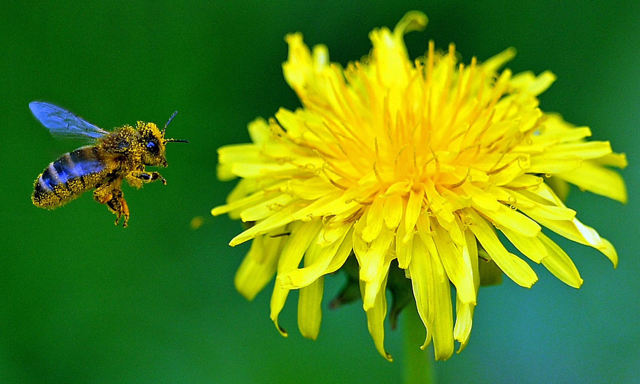 Help bees by not mowing dandelions, gardeners told