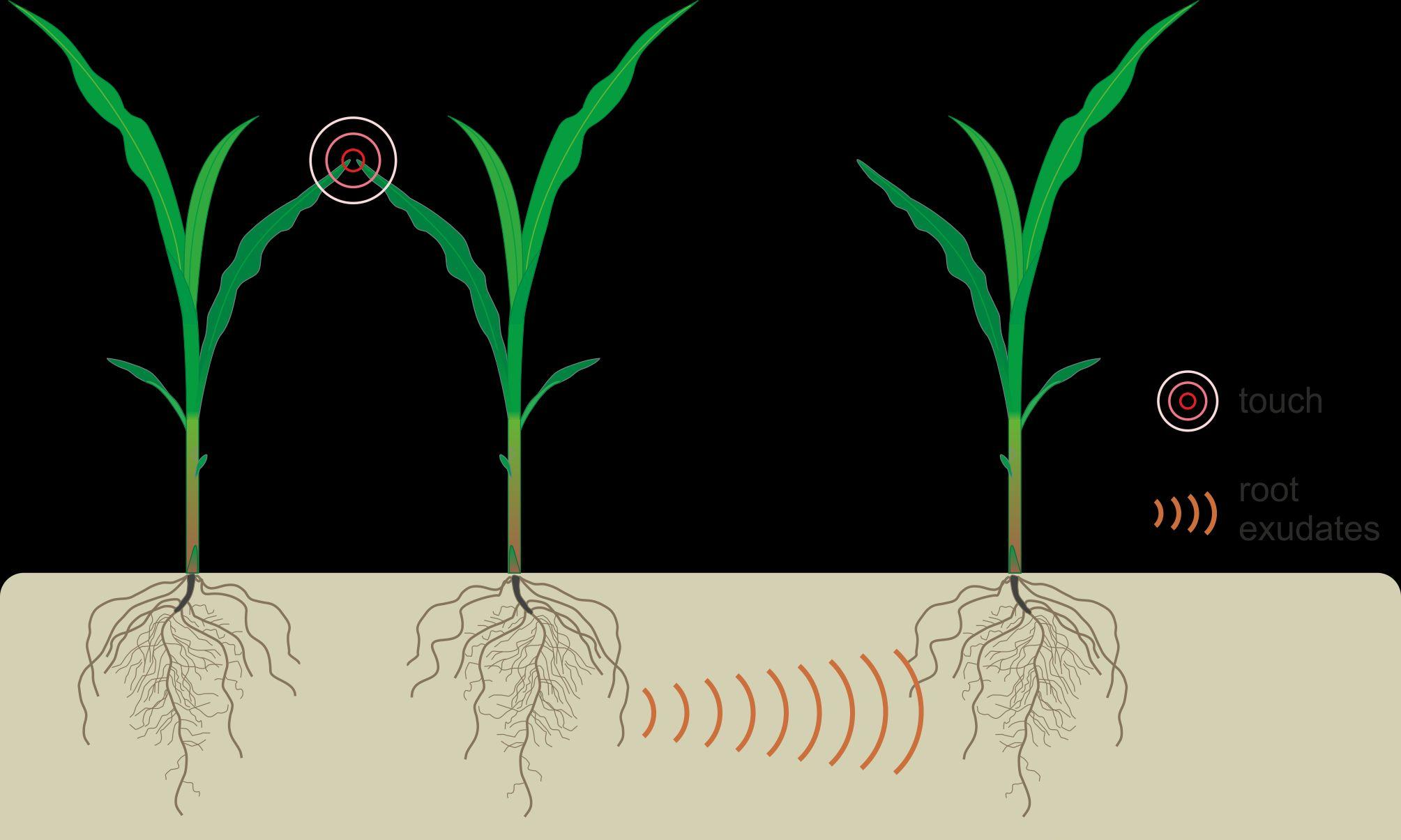 Plants 'talk to' each other through their roots
