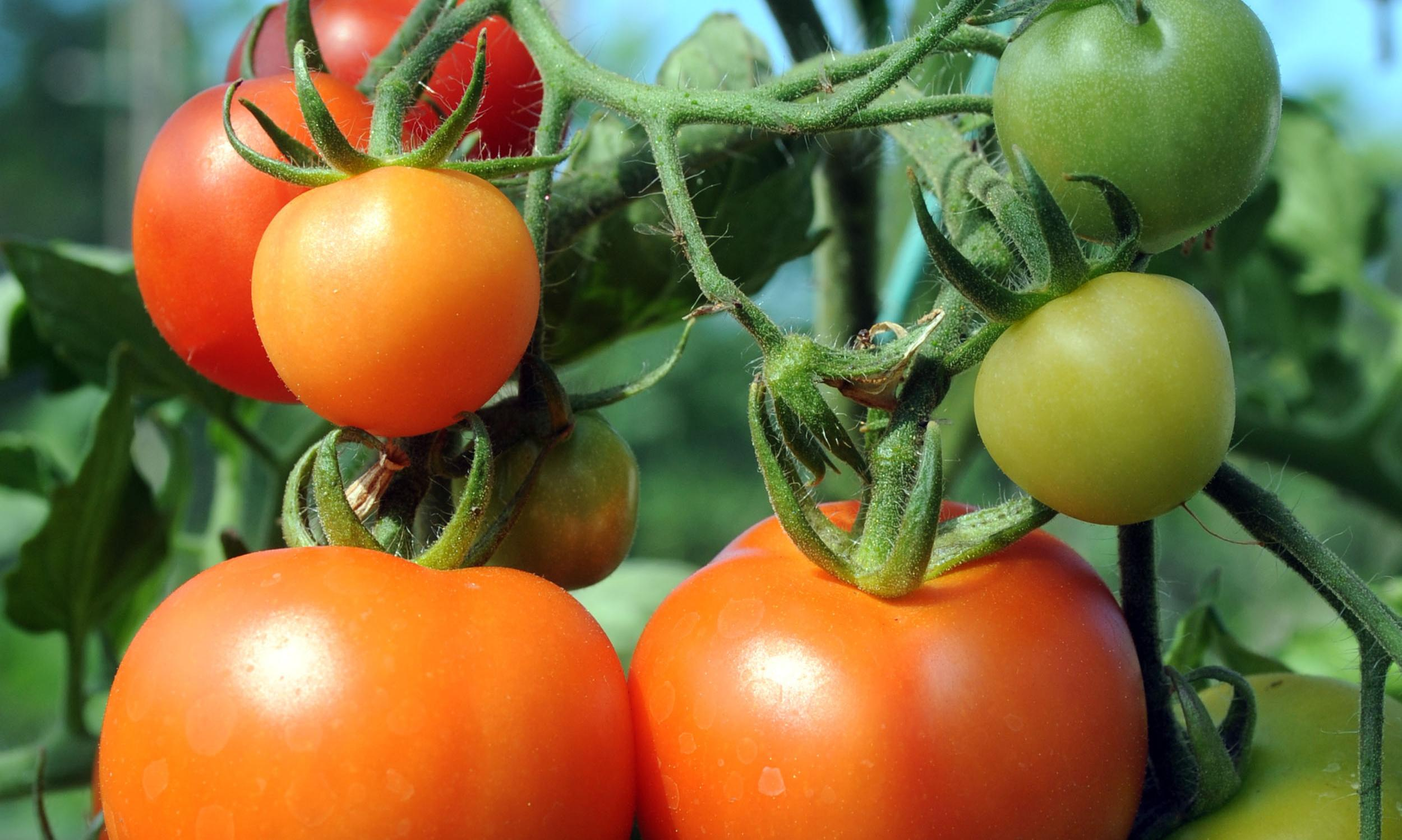 Gene editing could create spicy tomatoes, say researchers