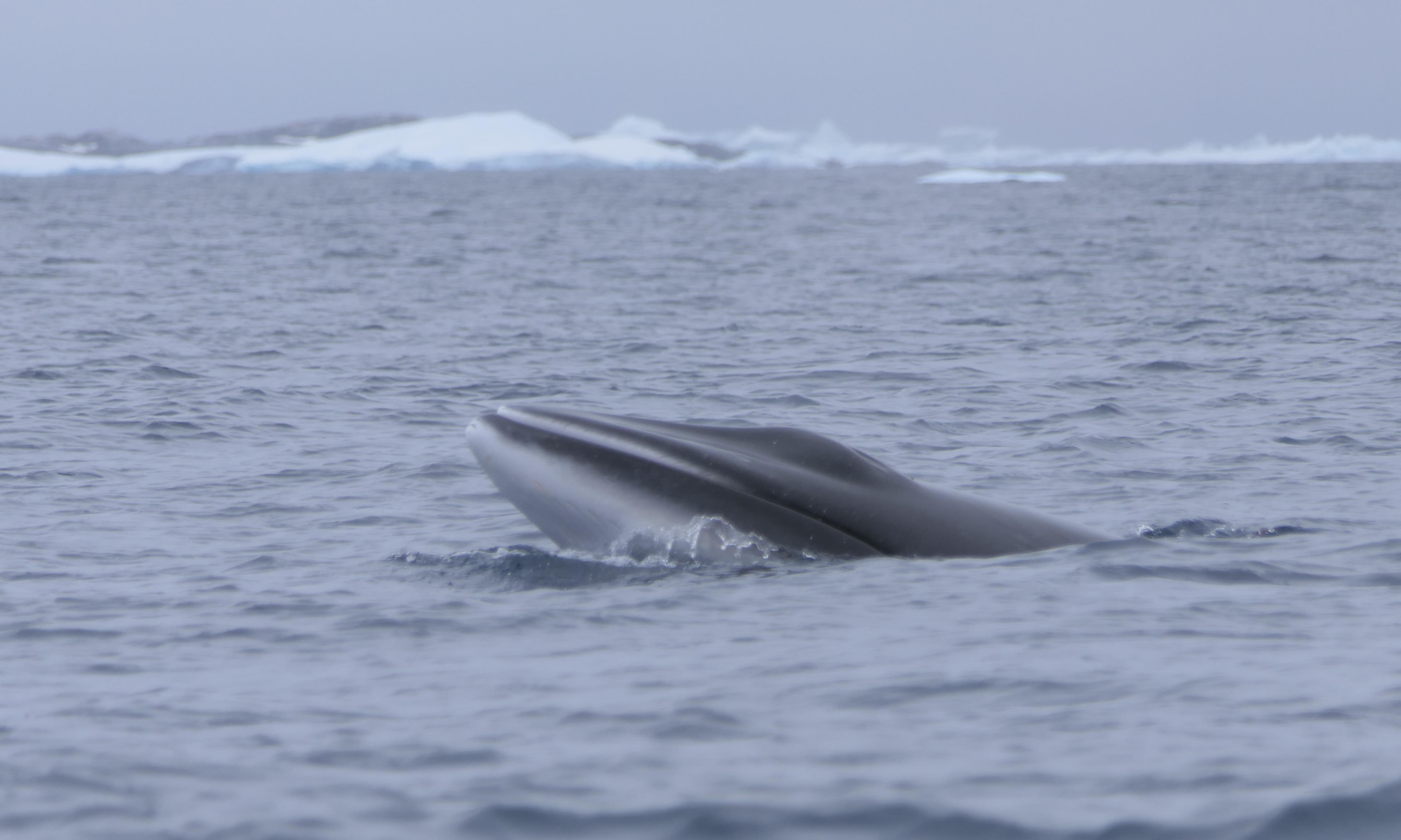 Japan killed 50 whales in Antarctic protected area, data shows
