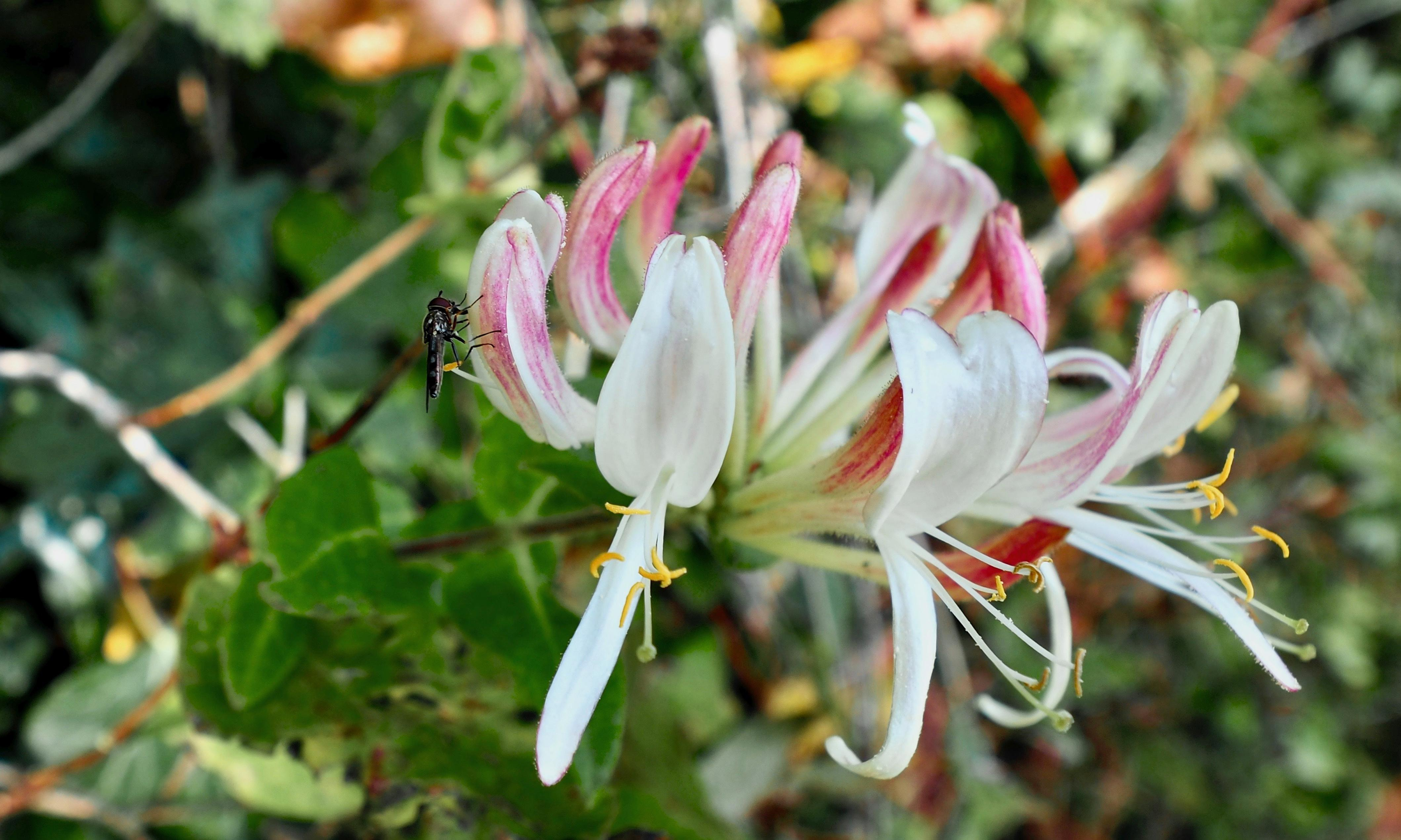 Country diary: honeysuckle is the last port in a storm for this hoverfly
