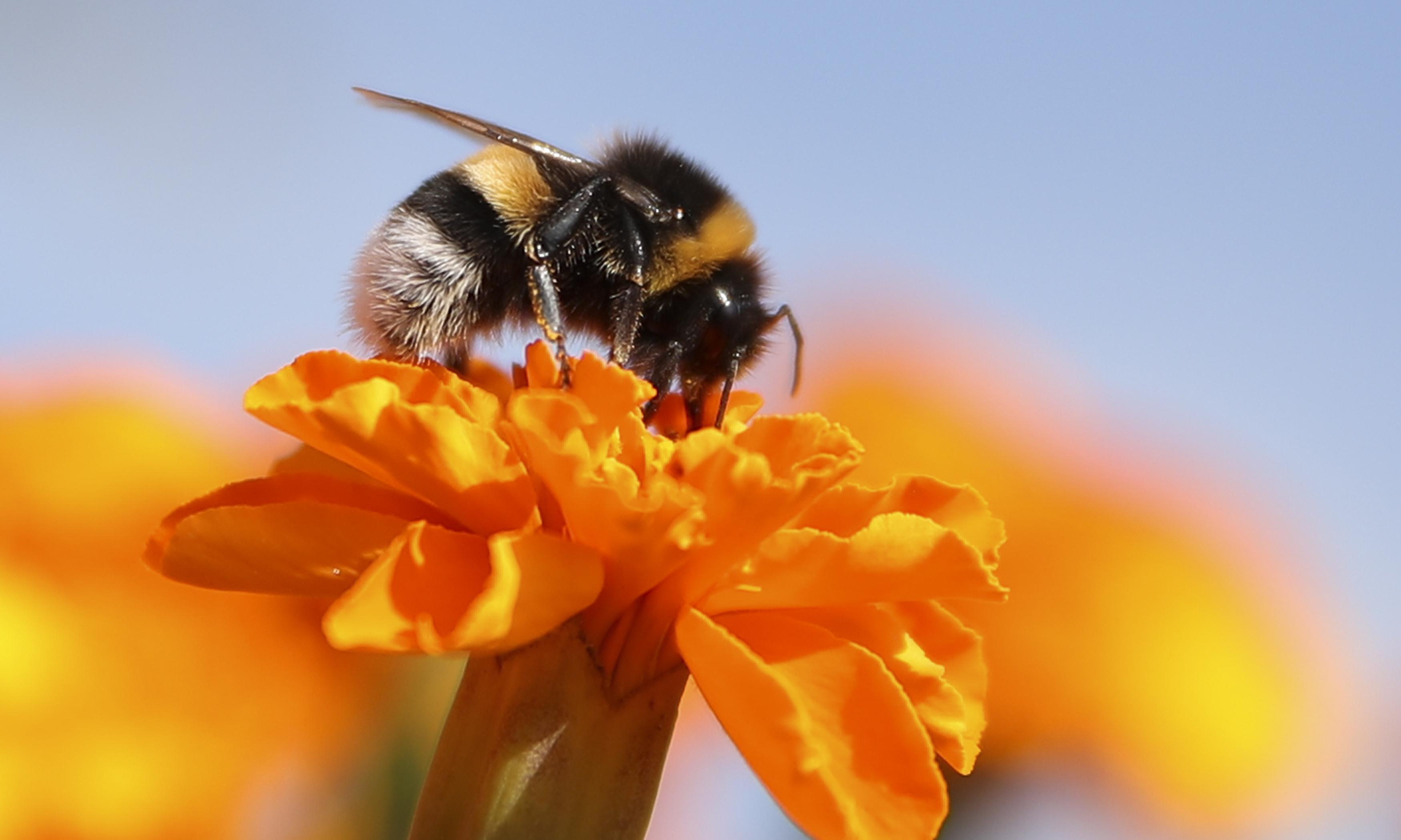 Bumblebees' decline points to mass extinction – study