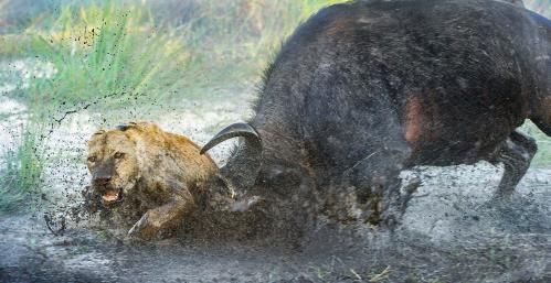 A fight between a buffalo and a lioness in Botswana's Okavango delta