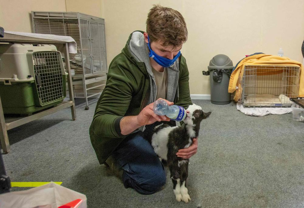 A member of staff feeds a two week-old native wild Irish goat which was found on a mountainside and named Liam, at Wildlife Rehabilitation Ireland's new premises situated behind the Tara na Ri Pub, which is shuttered due to the Covid-19 pandemic, at Garlow Cross outside Navan in County Meath, Ireland on February 18, 2021.