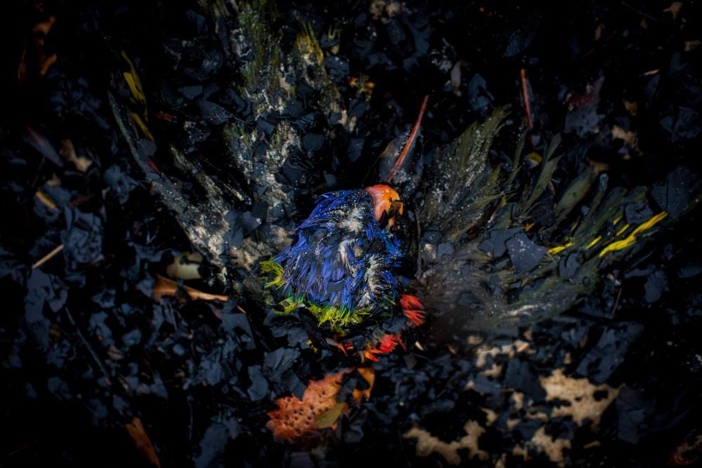 A rainbow lorikeet found on the shoreline at Tip Beach, Mallacoota.