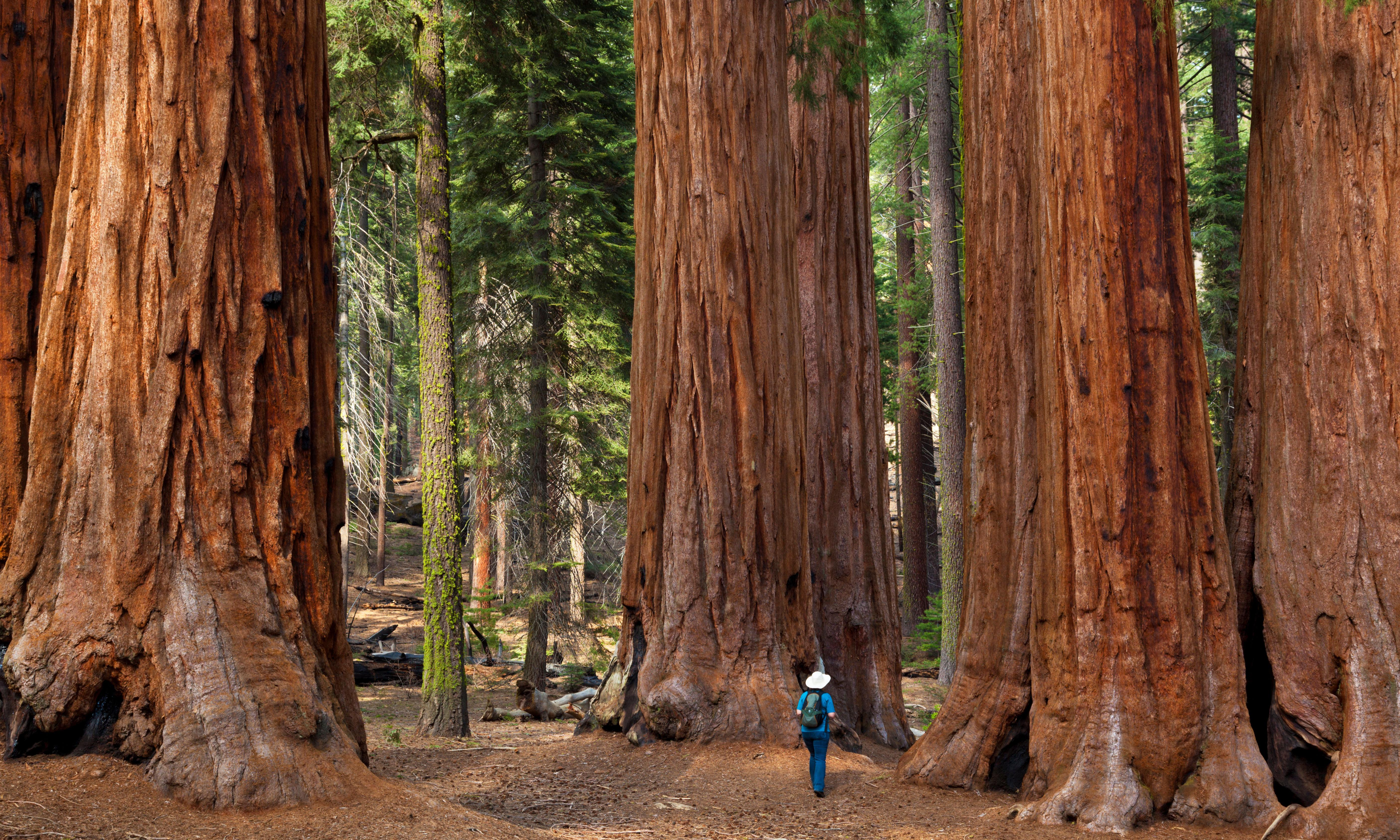 'Once they're gone, they're gone': the fight to save the giant sequoia