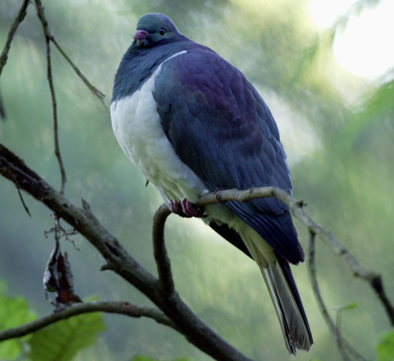 New Zealand bird of the year: 'drunk, gluttonous' kererū pigeon wins